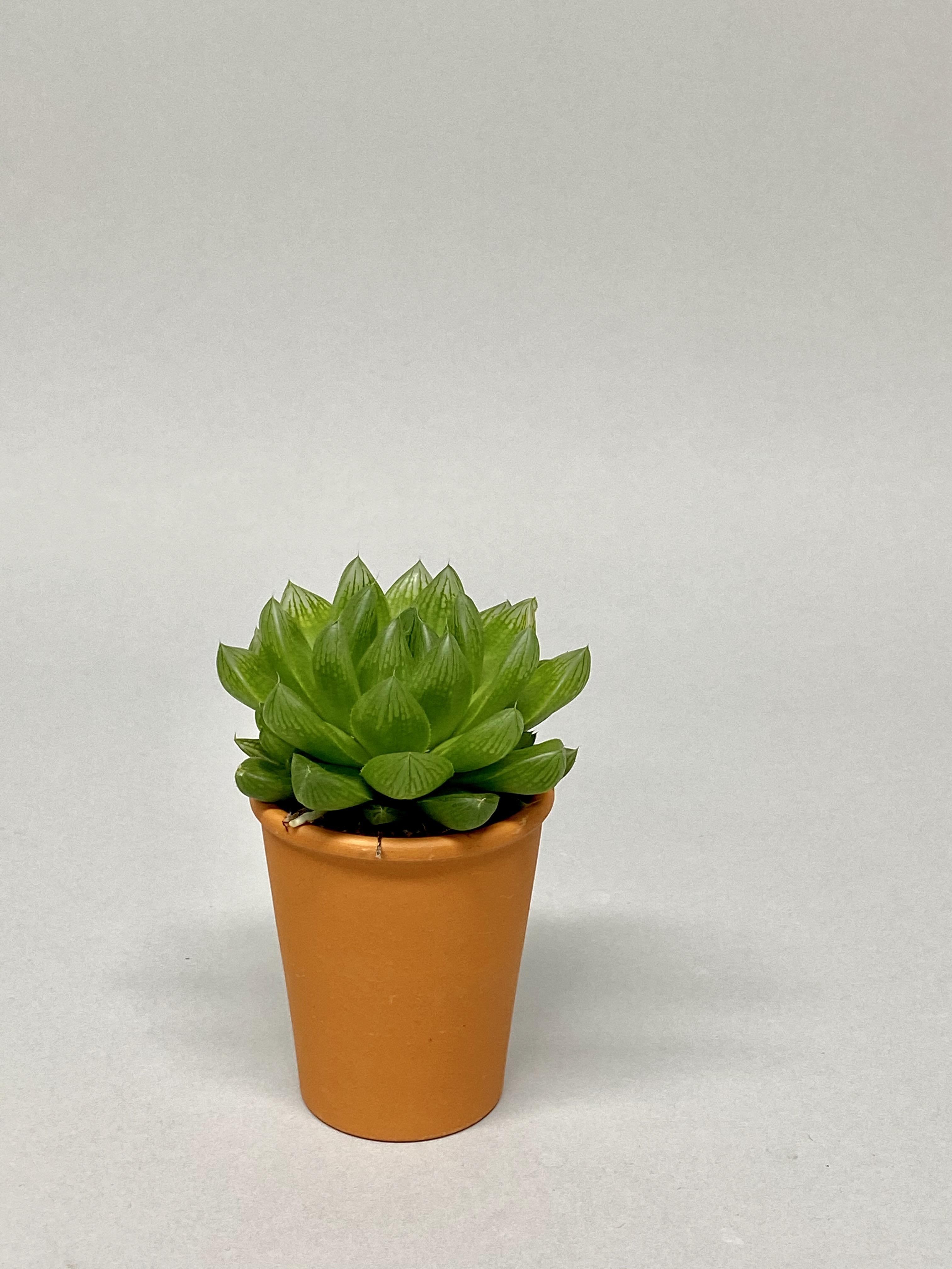 6cm Diameter Succulent Mix