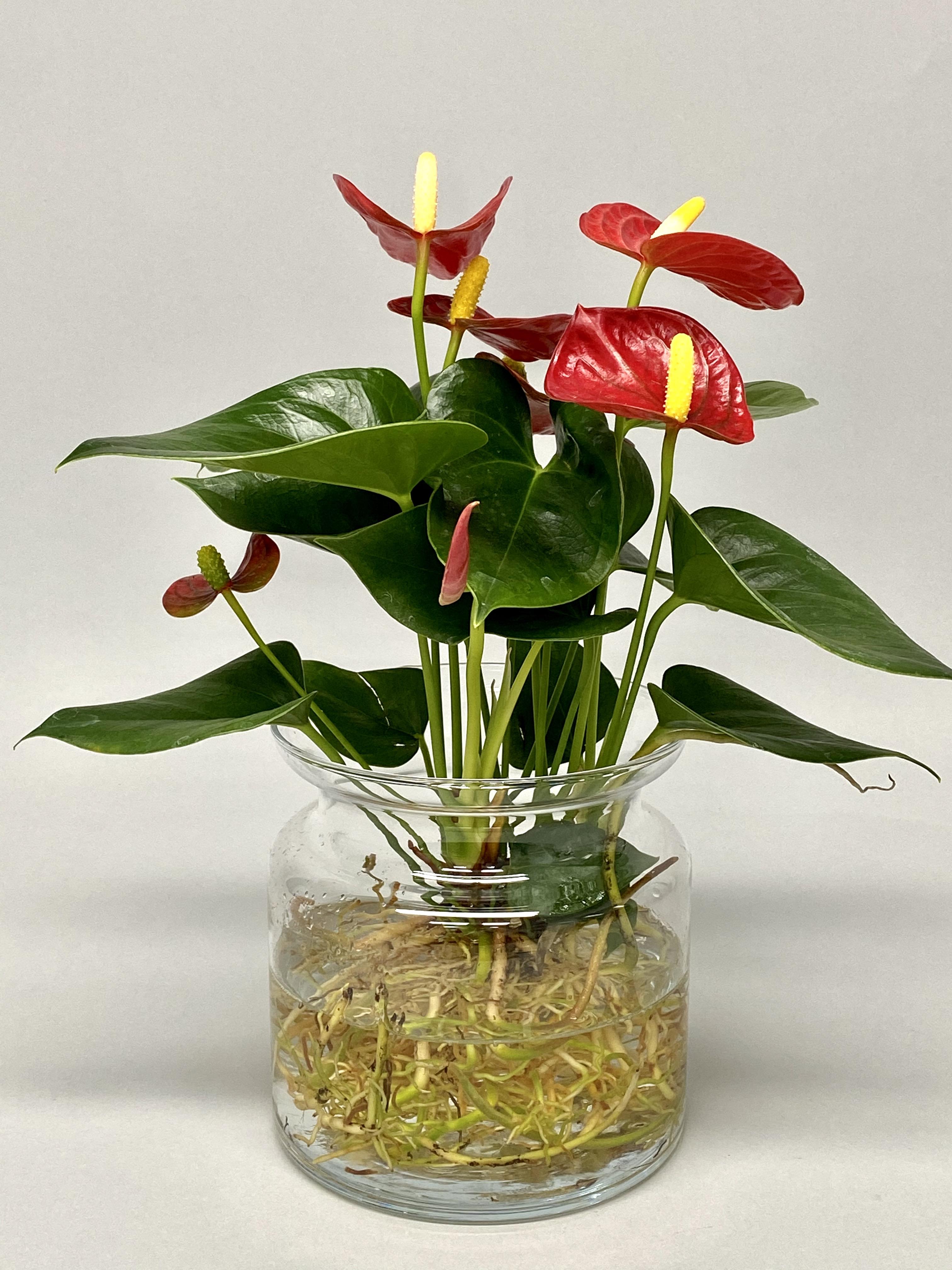 Anthurium (hydroponic)
