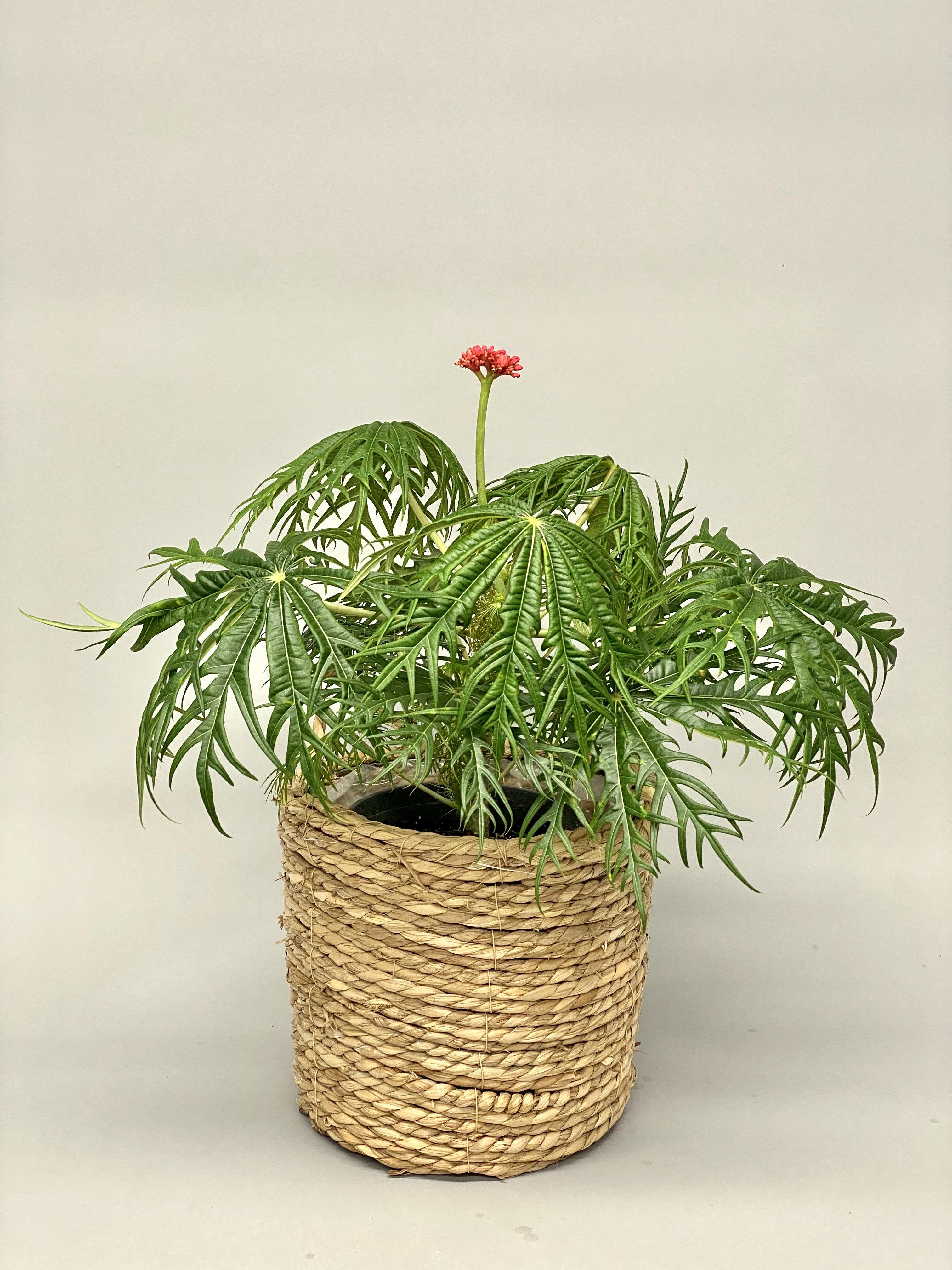 Coral Bush (Jatropha Multifida)