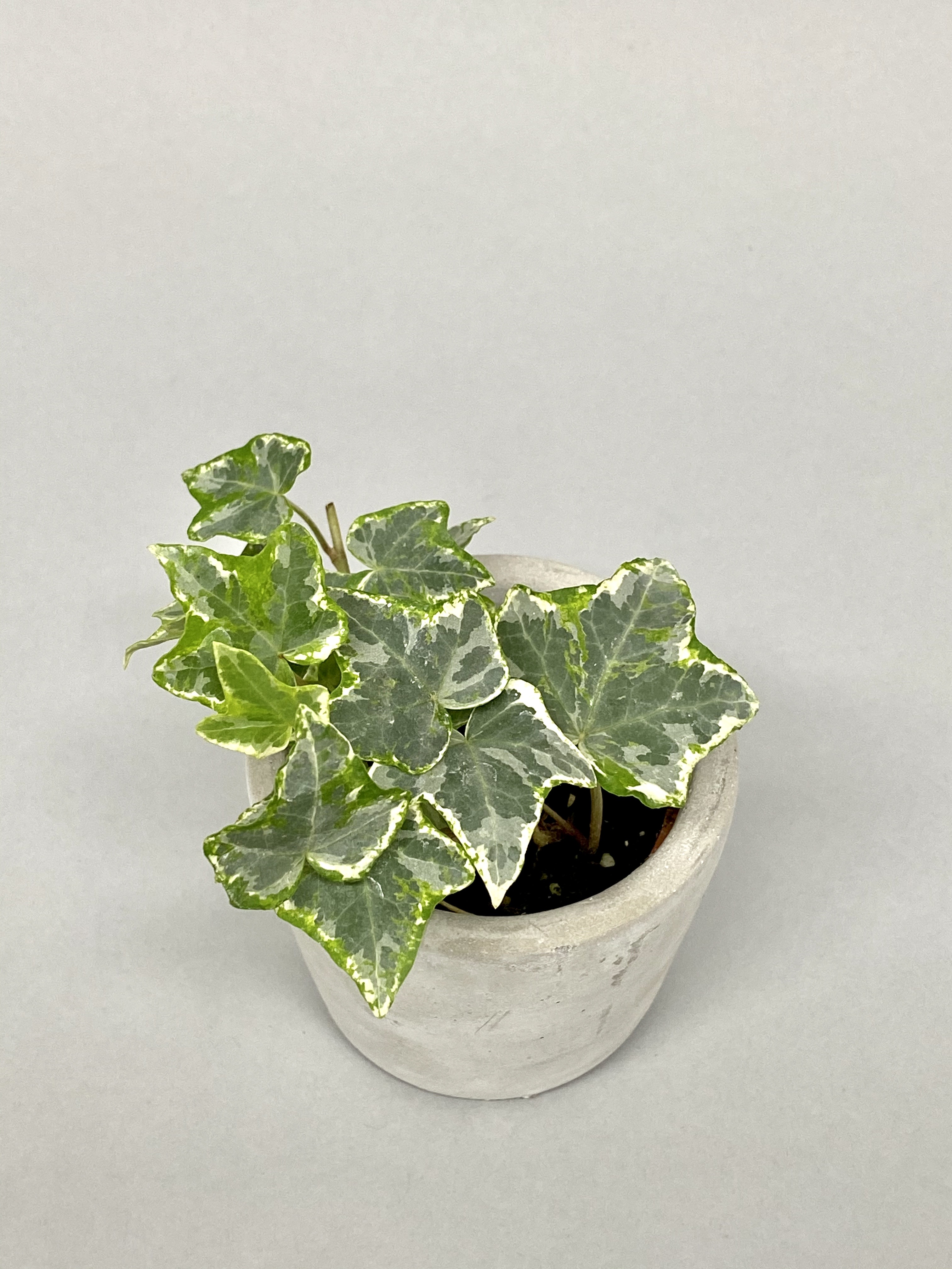 Ivy 'Helix Variegata'