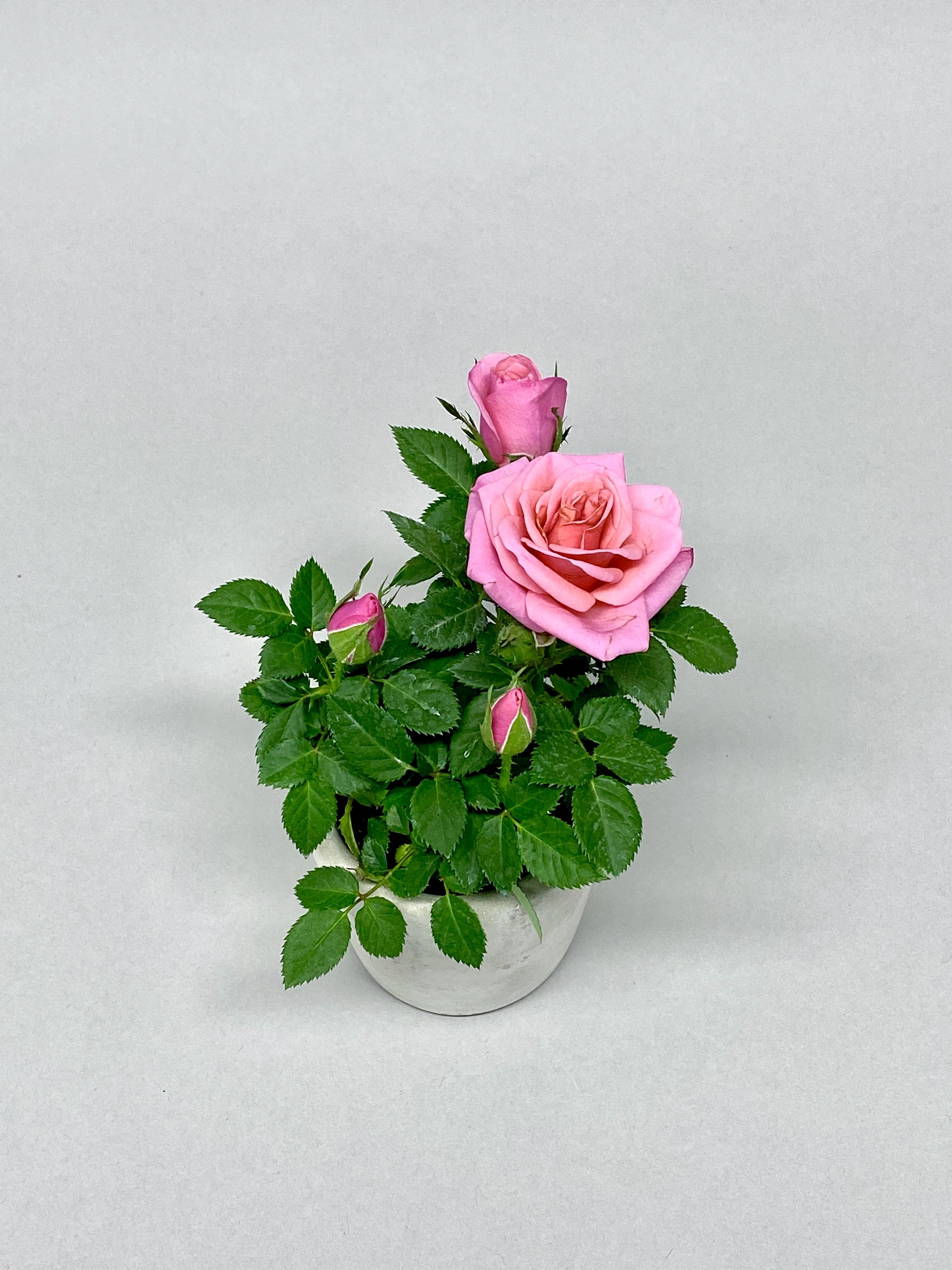 Roses (Colour Mix)