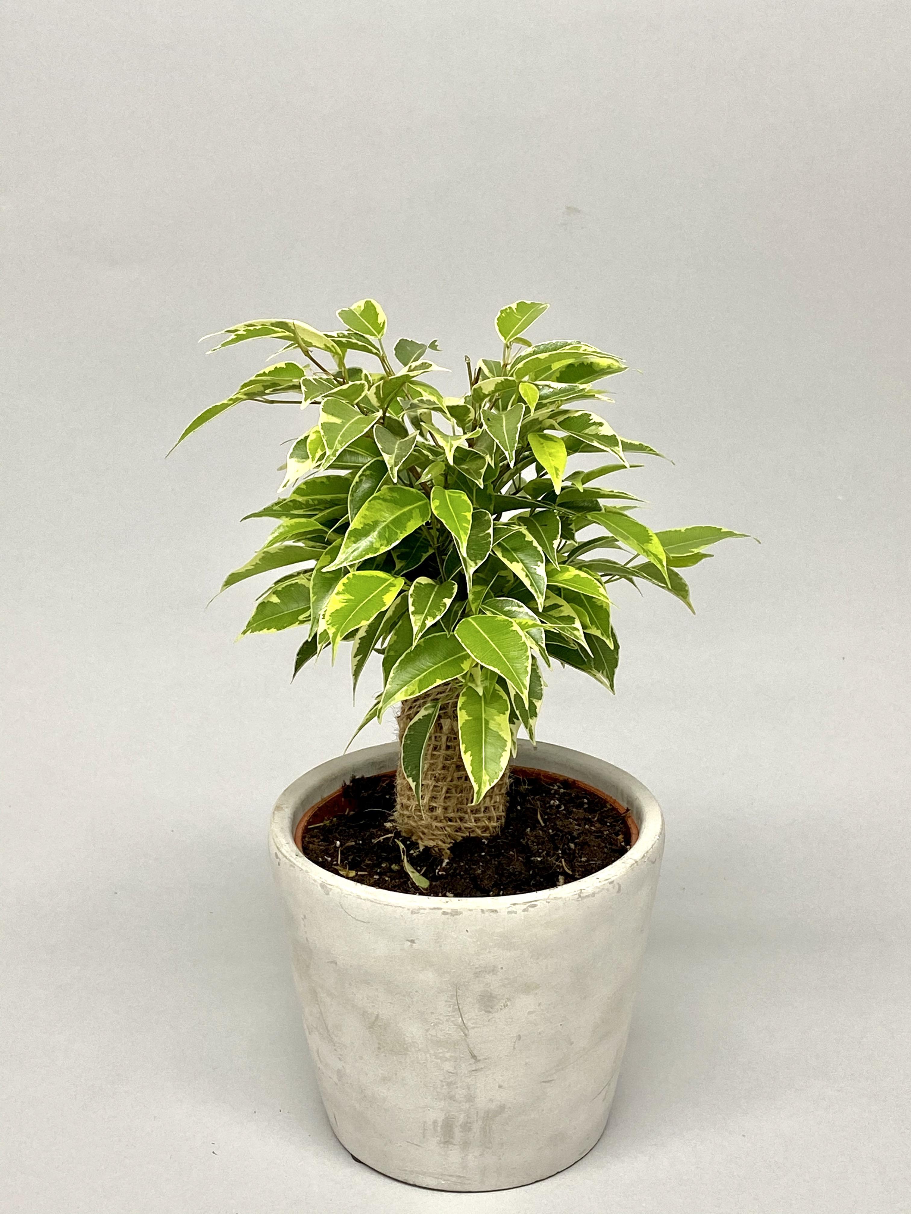 Ficus Benjamina (Variegated)