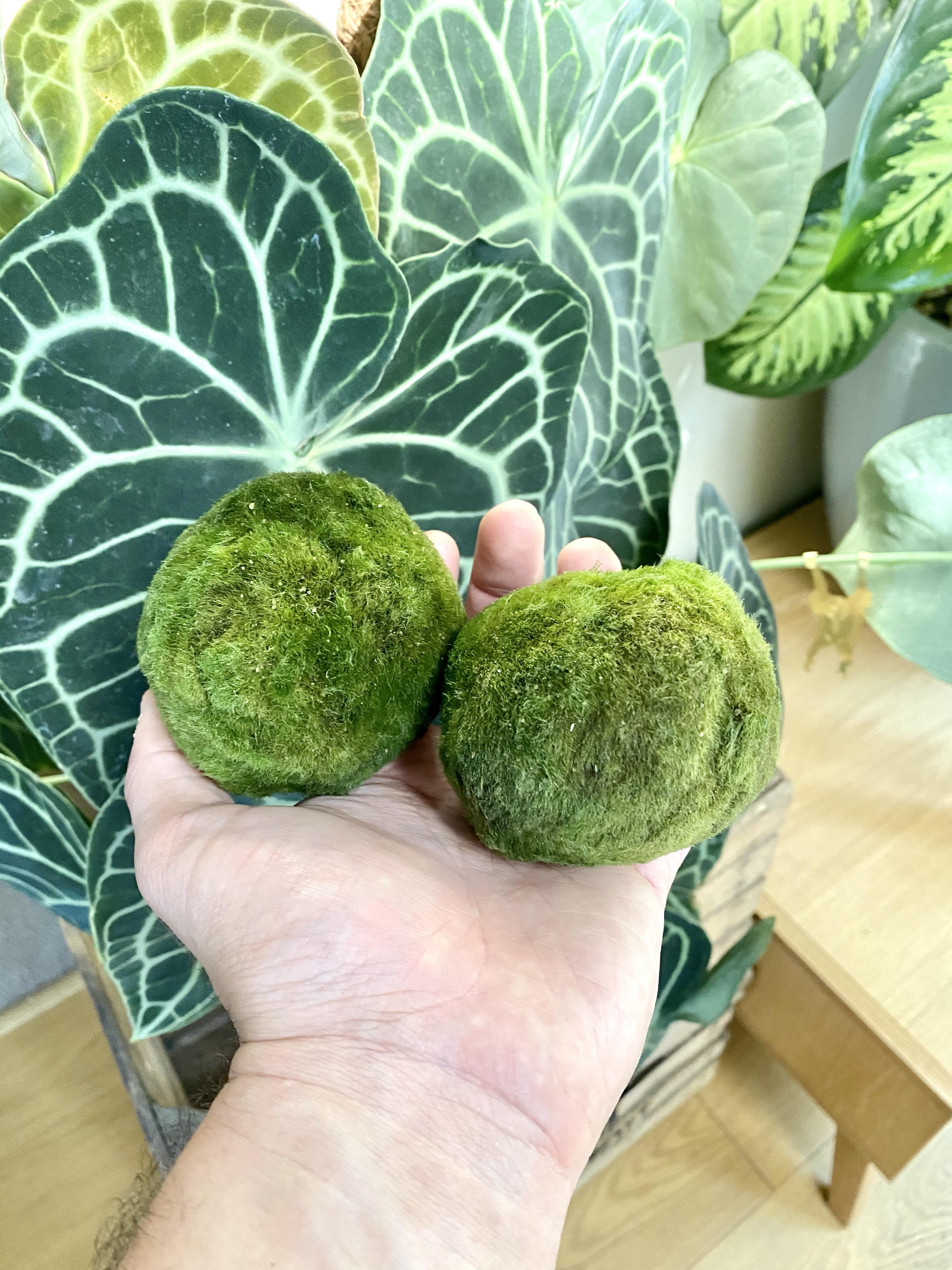 Marimo Moss Ball (Size options)