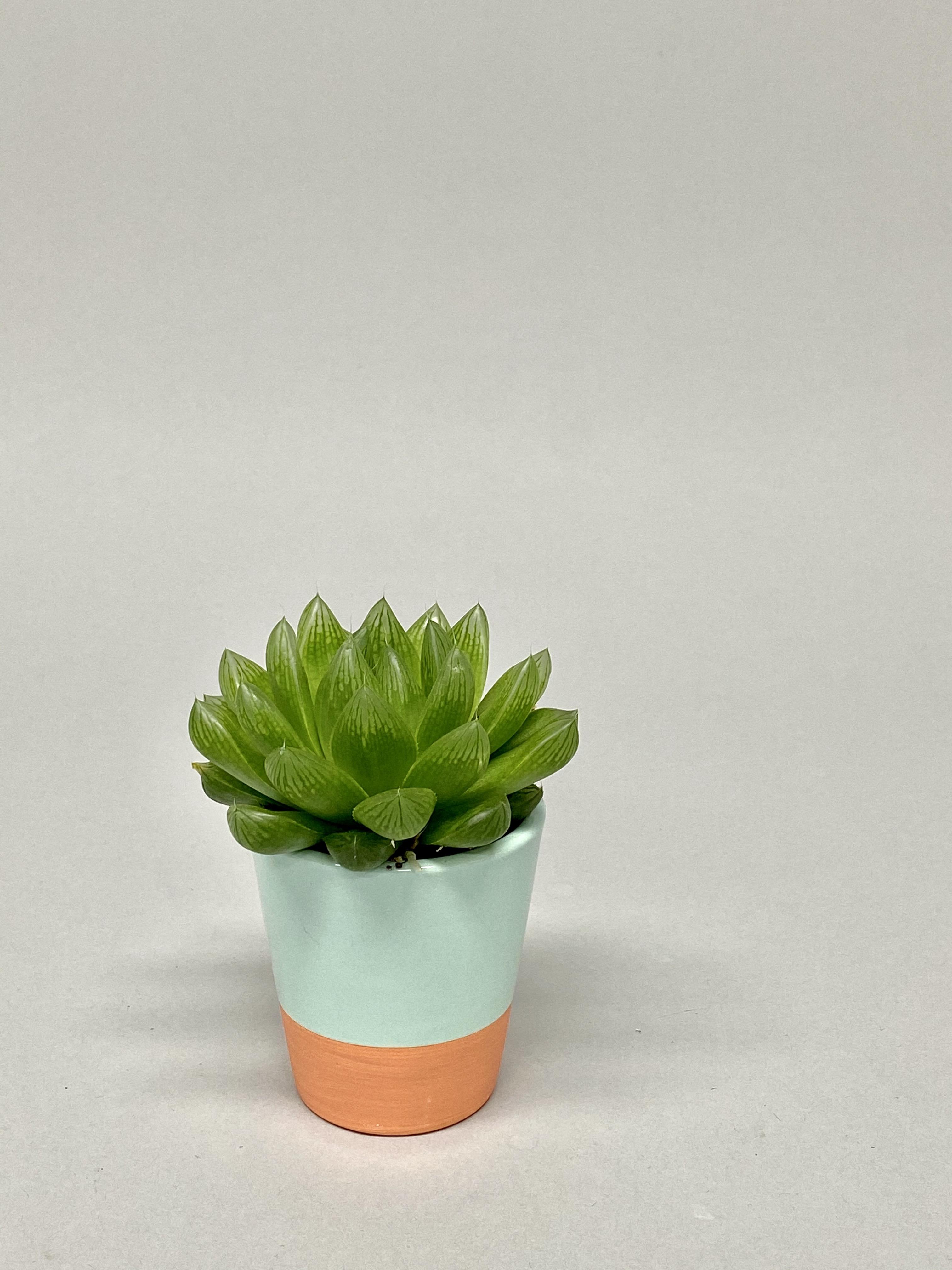 6cm Diameter Succulent Mix(Two Tone Pot)