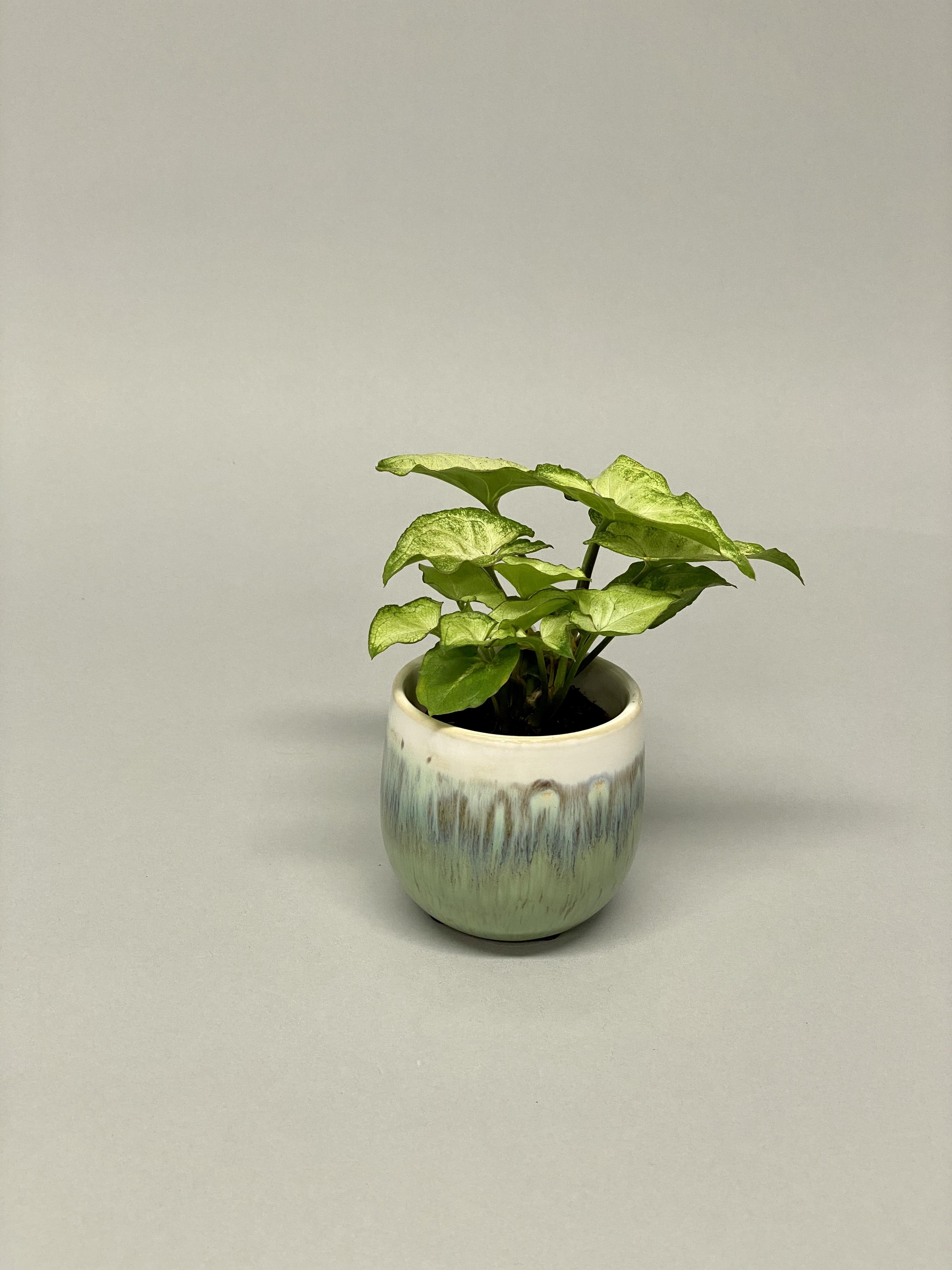 Ivy (Colour options)