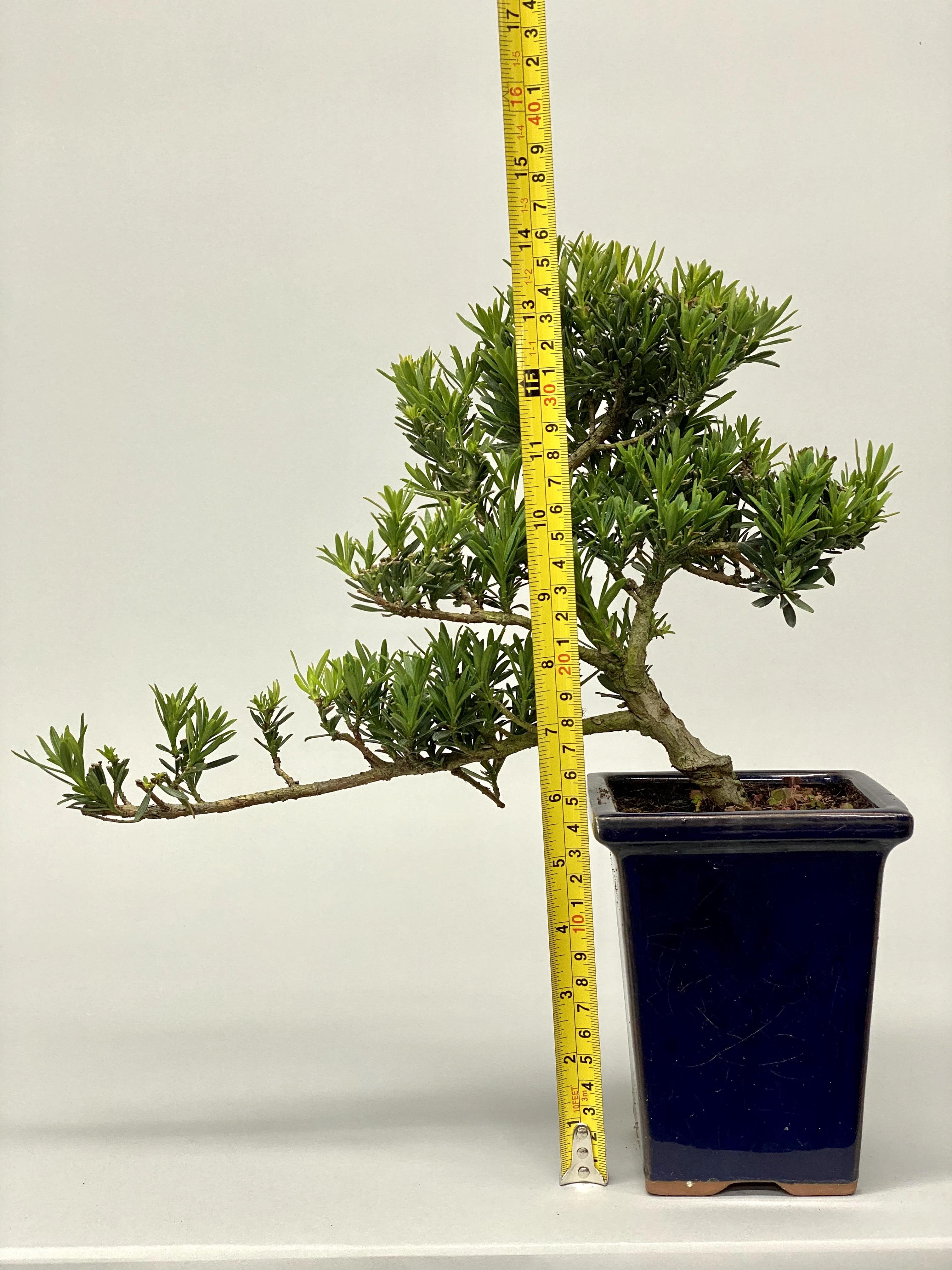 Plum pine (Podocarpus elatus 302)
