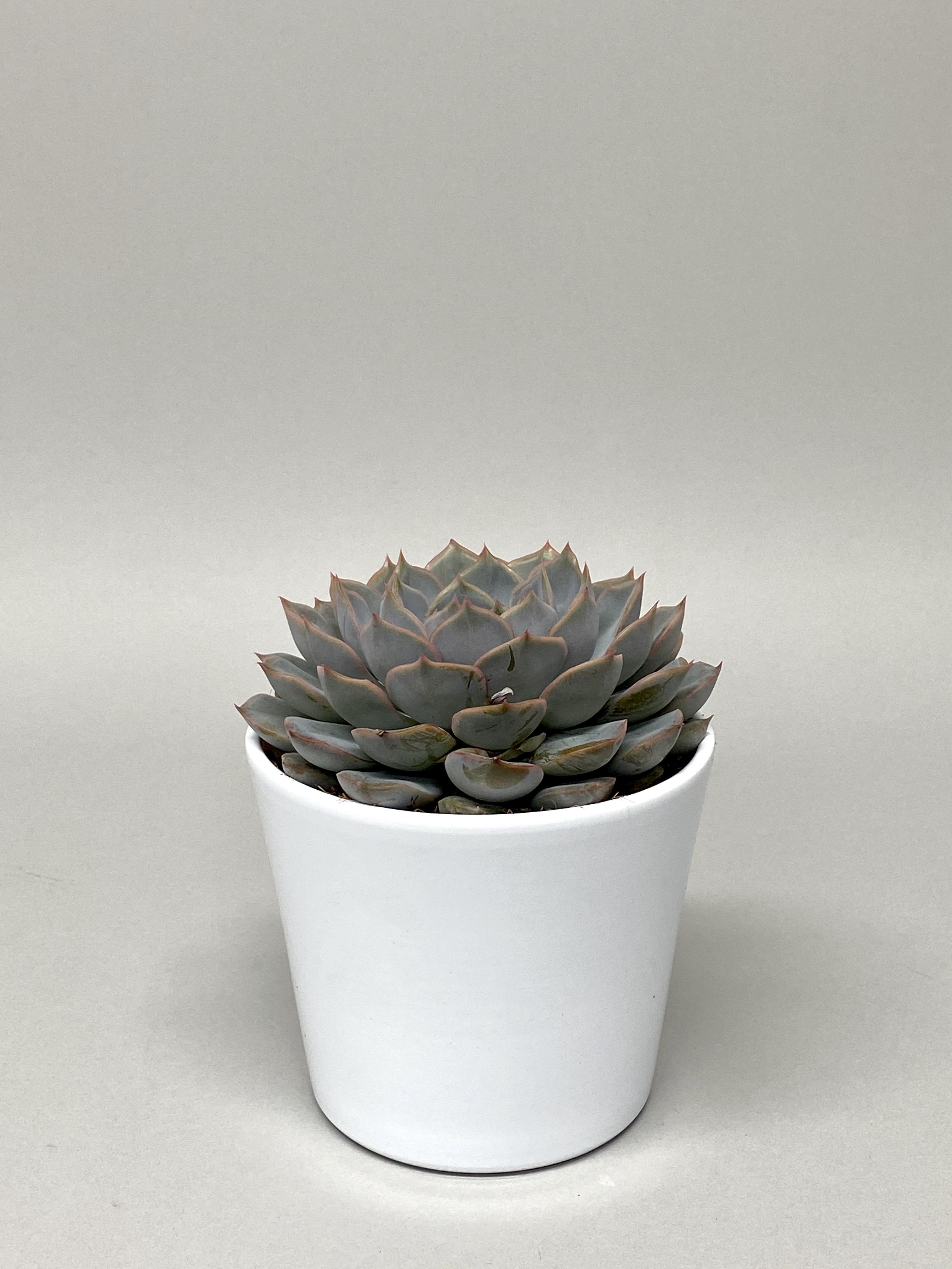 12cm Diameter Succulent Mix