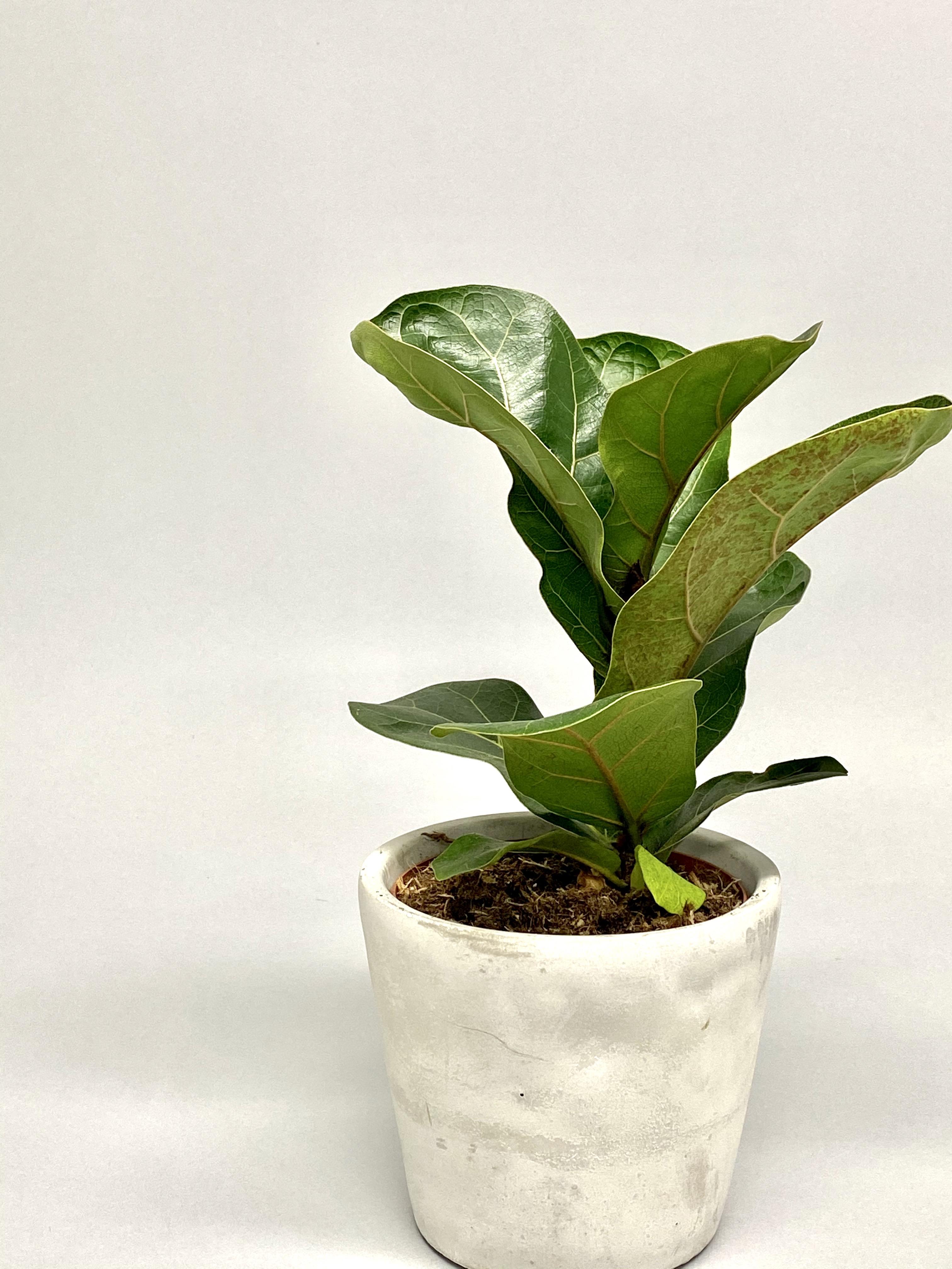 Fiddle Leaf Fig 'Bambino'