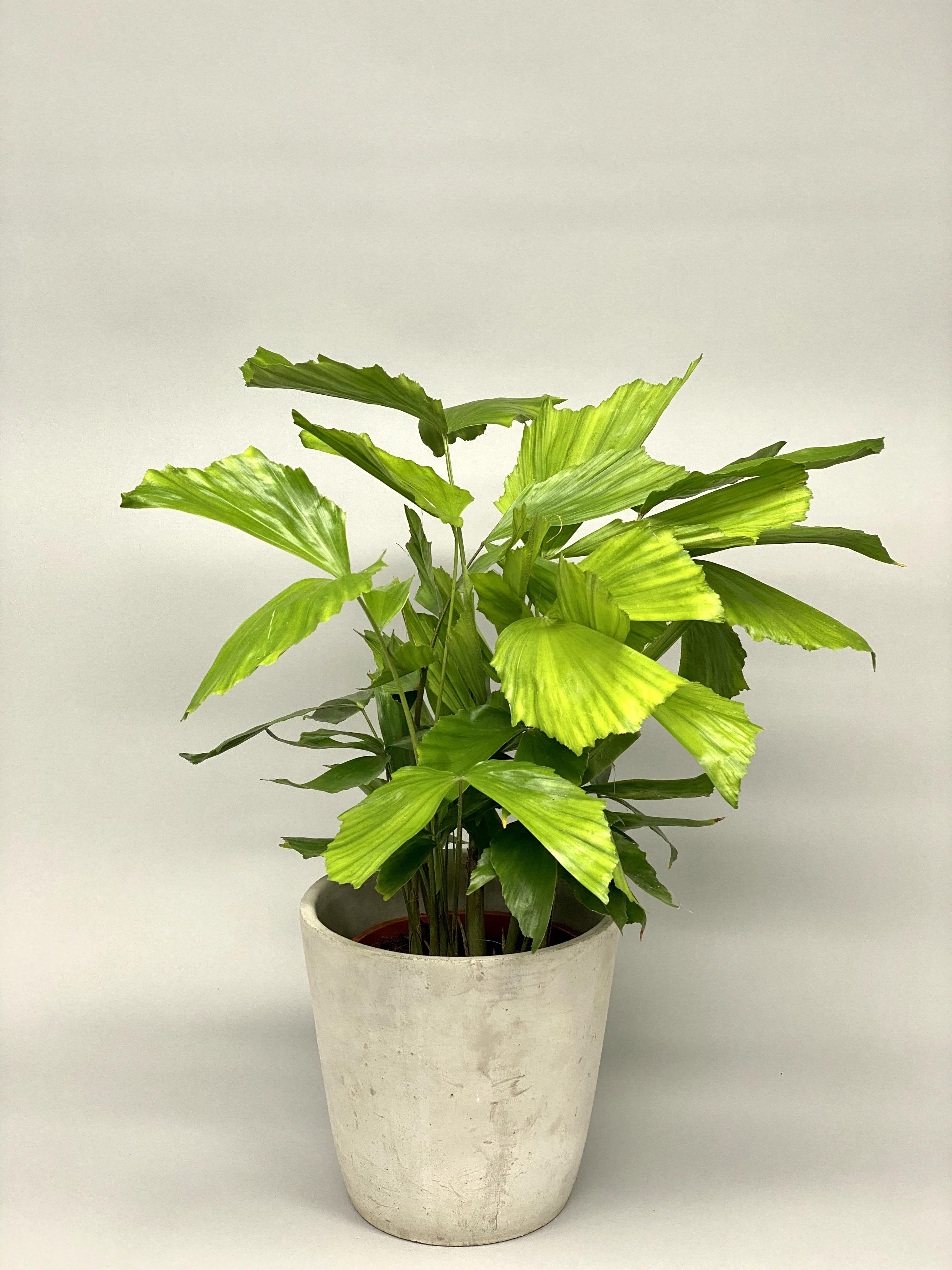Fishtail Palm (Caryota Mitis) RARE