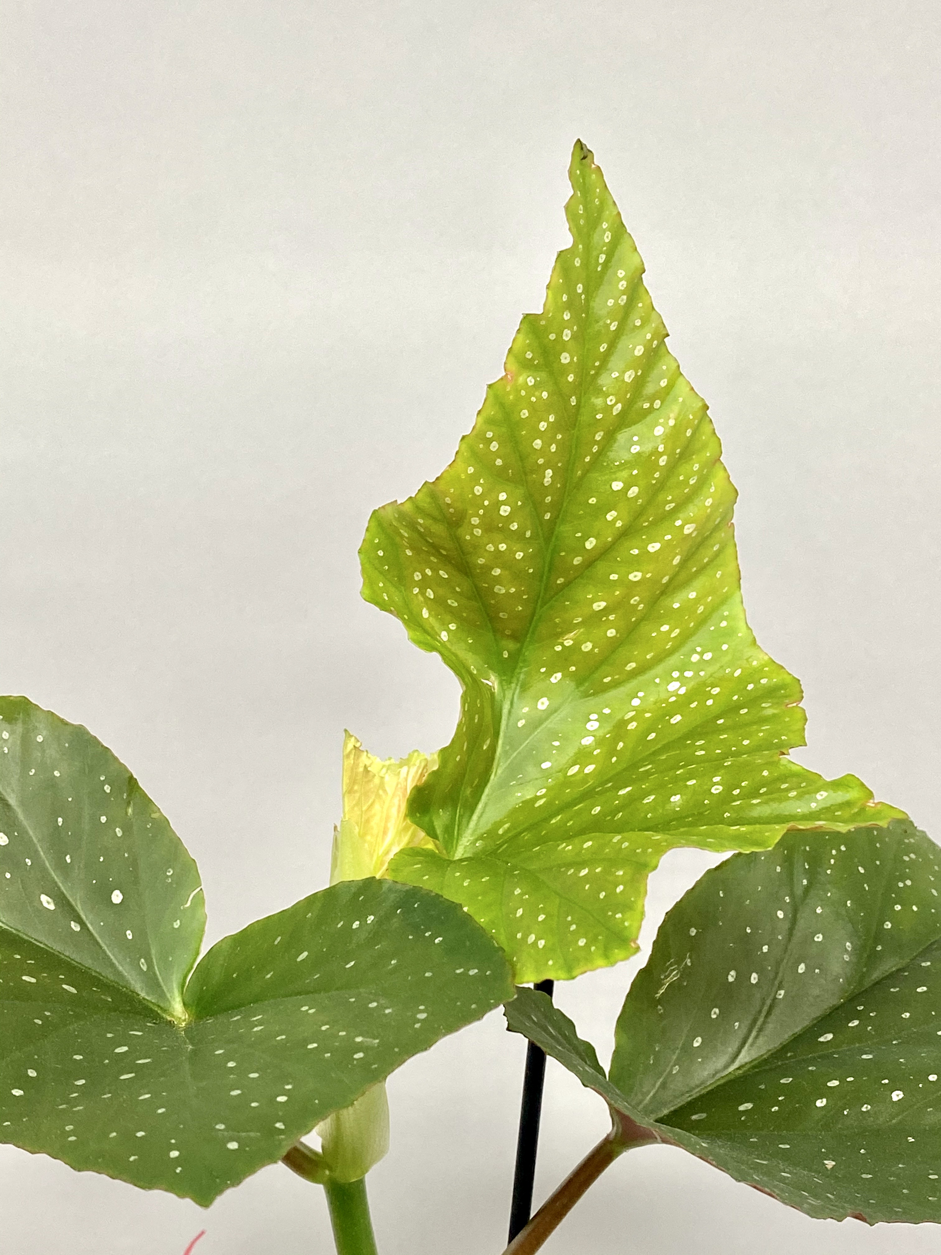 Angel Wings (Begonia Corallina)