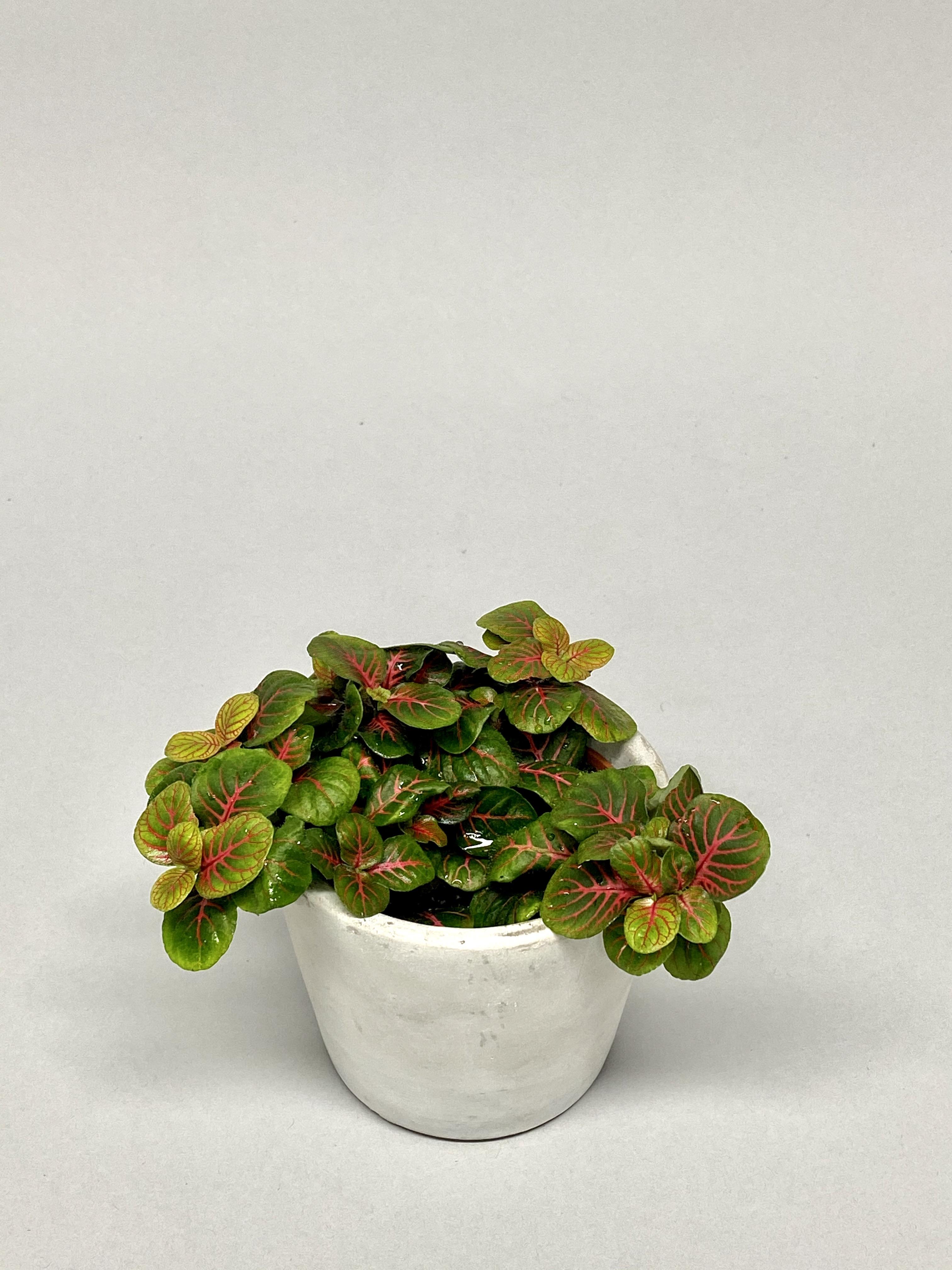 Fittonia Bubble Red (Small)