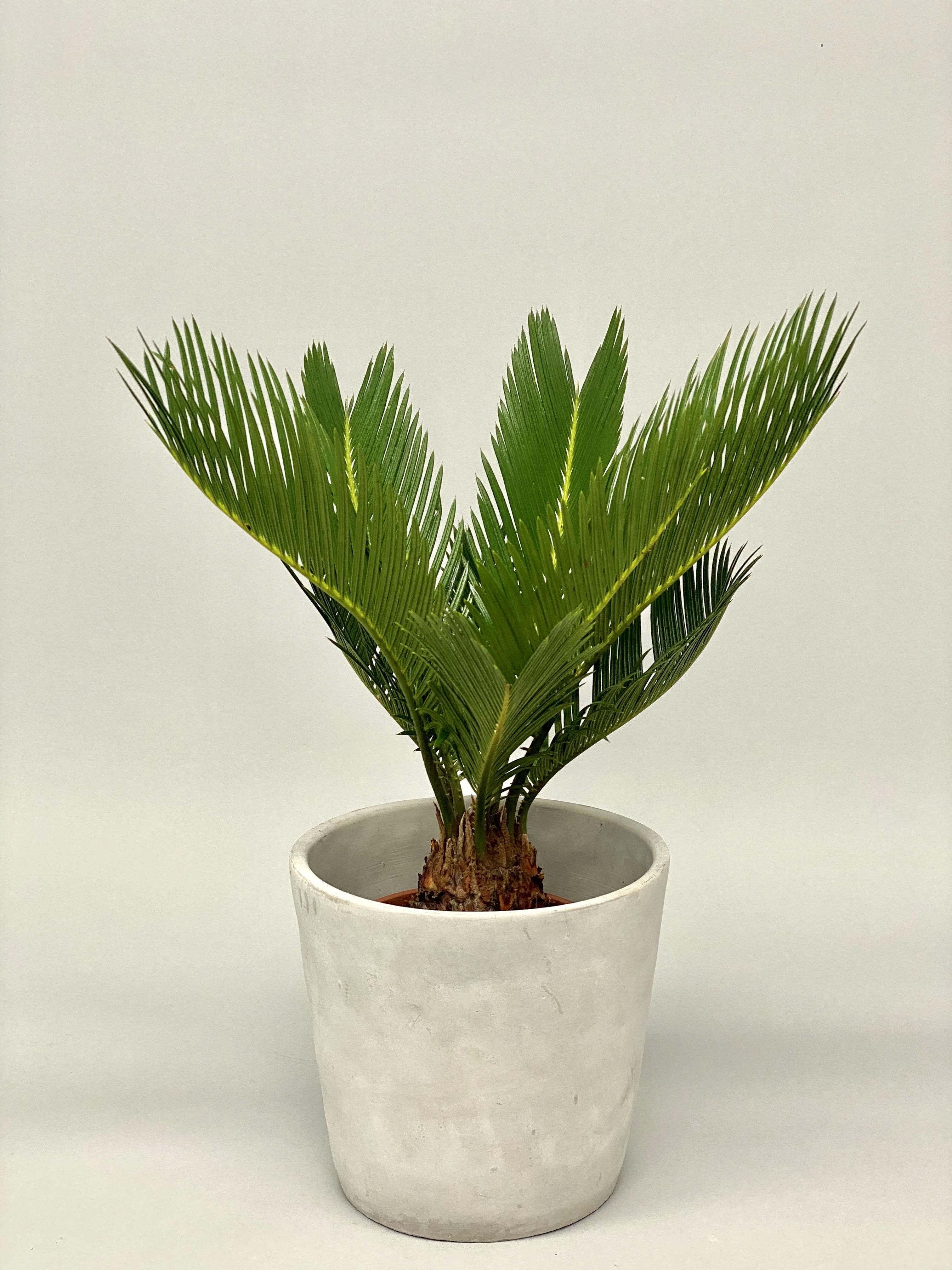 Cycas Revoluta 'Sago Palm'