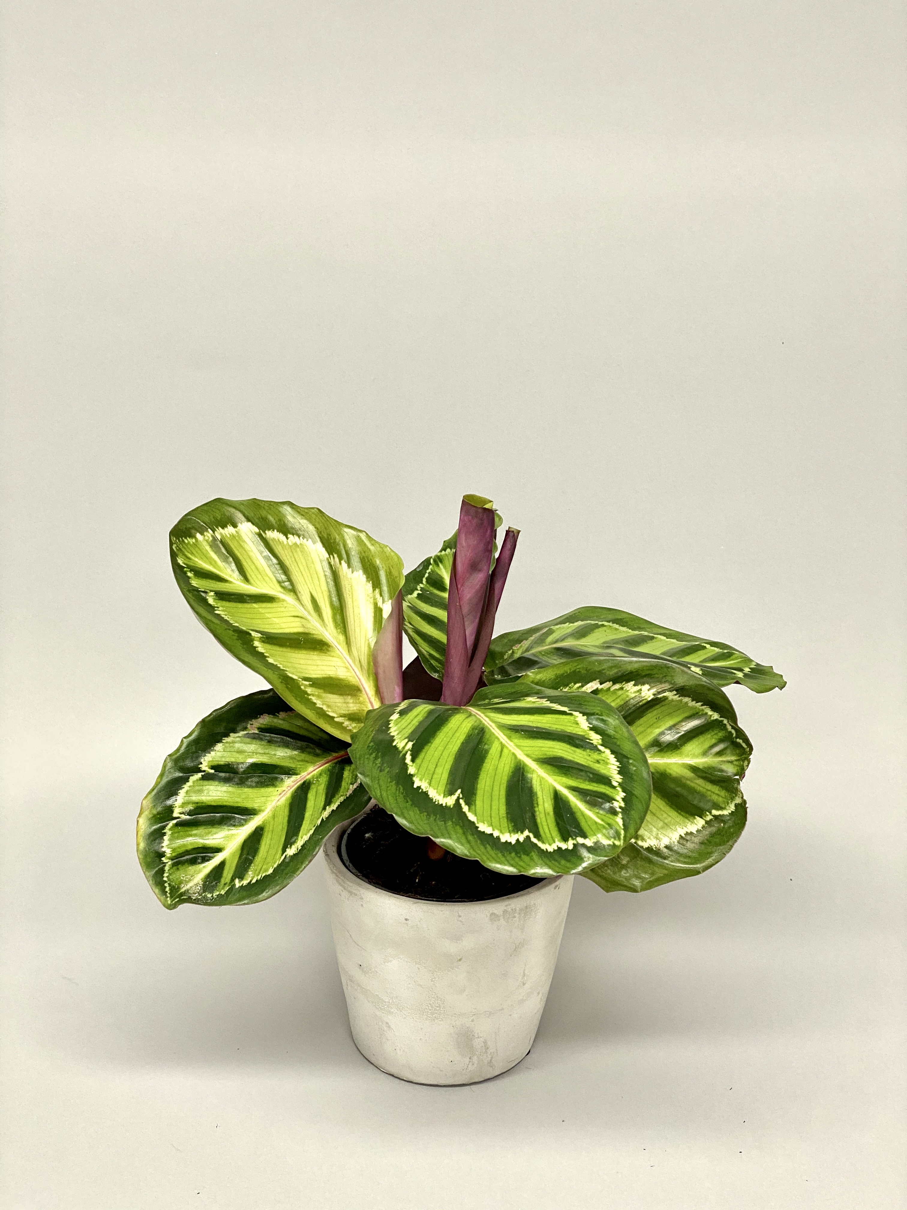 Calathea Roseopicta Illustris