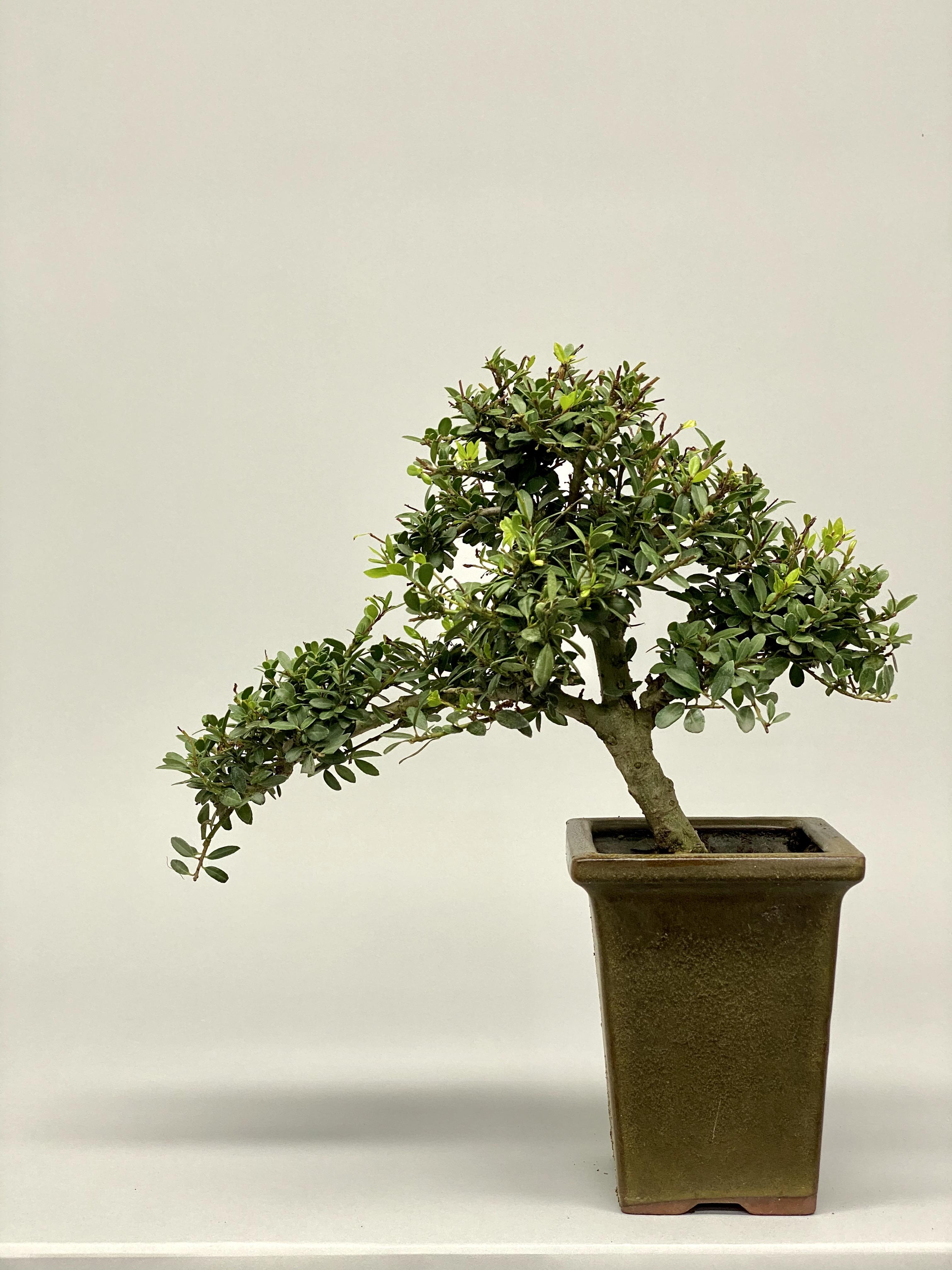 Japanese Holly (Ilex 303)