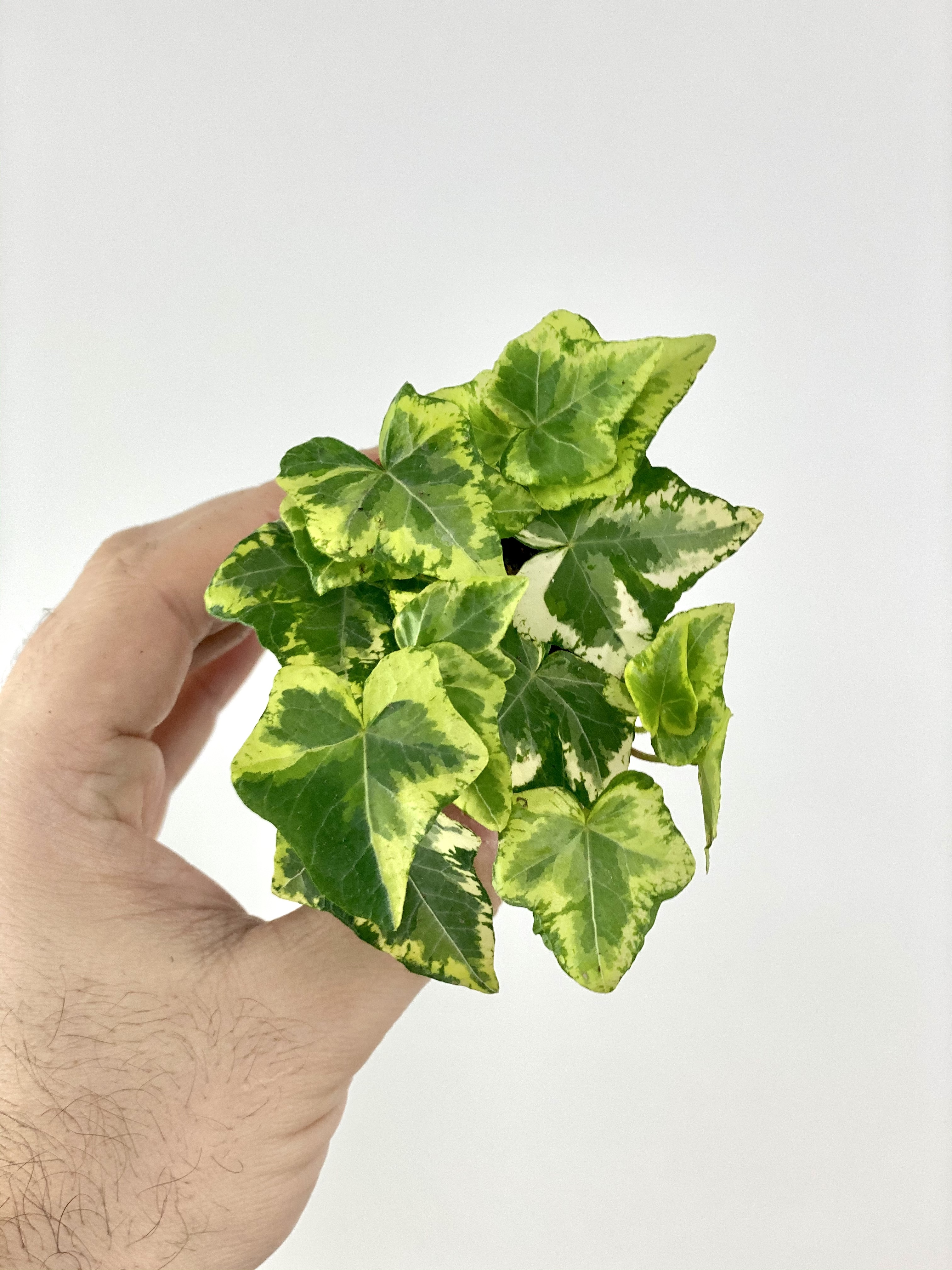 Ivy (Yellow Ripple)