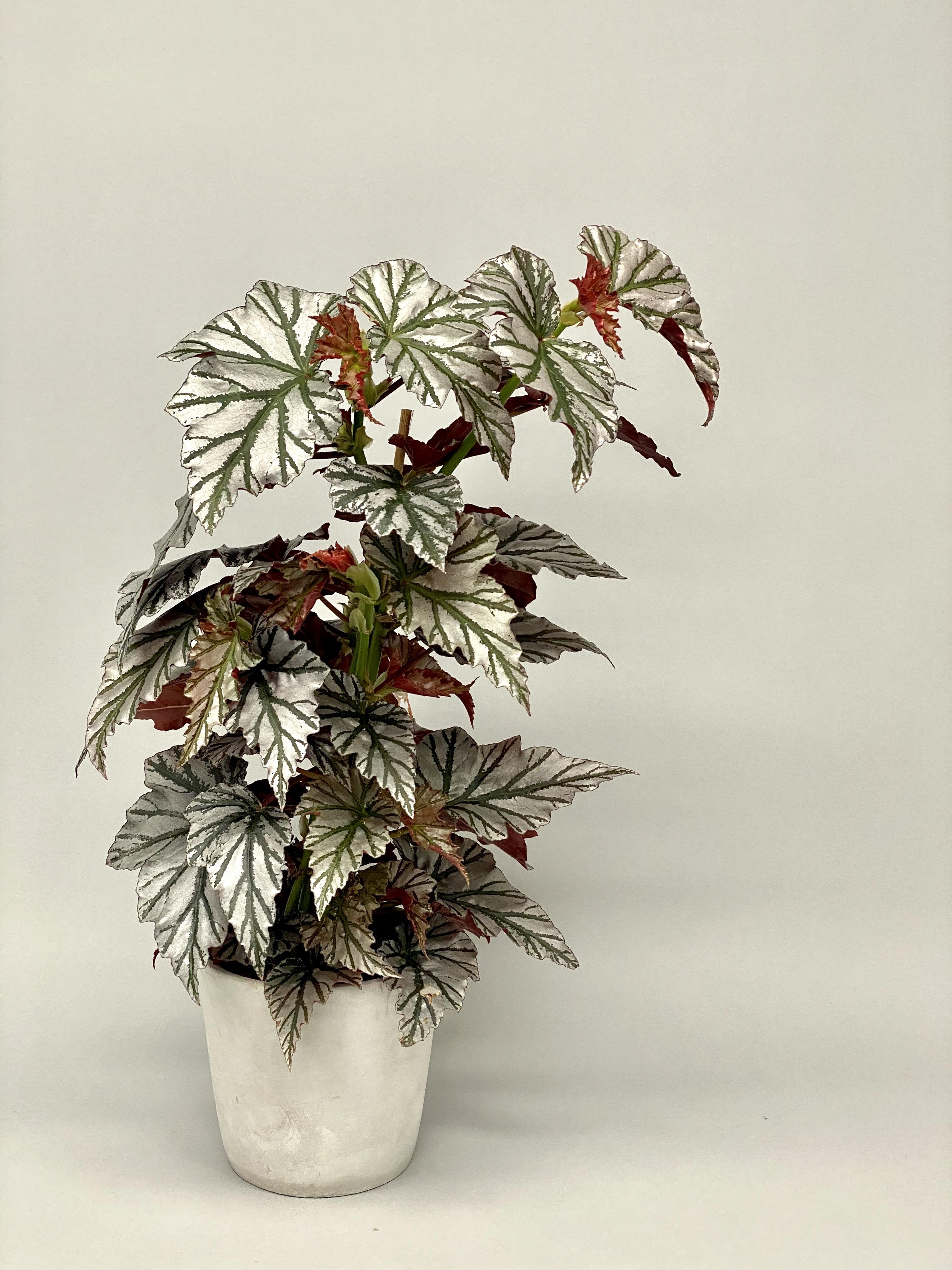 Begonia 'Highway' (RARE+Large)