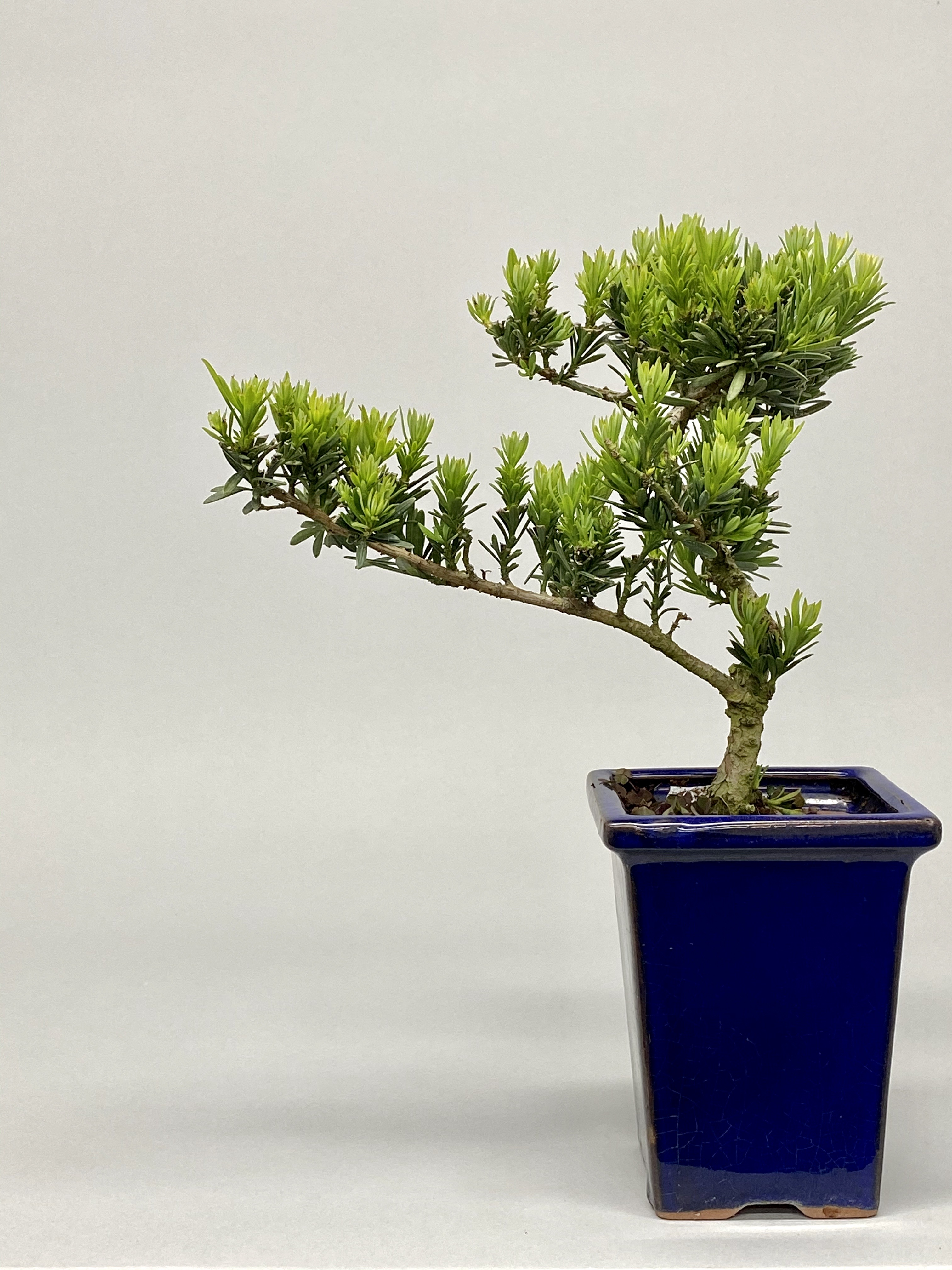 Plum pine (Podocarpus elatus 301)