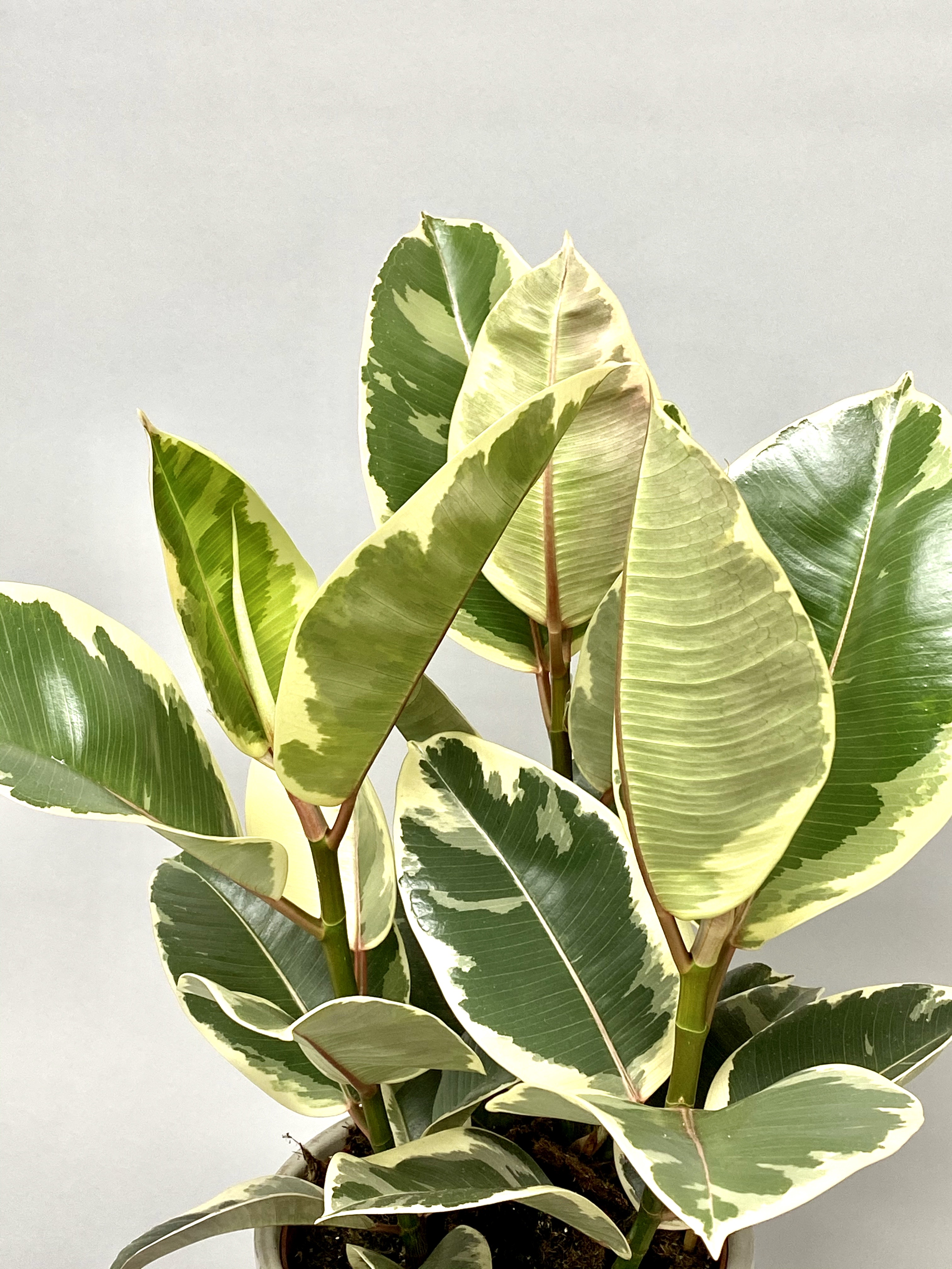 Ficus Tineke (Large)