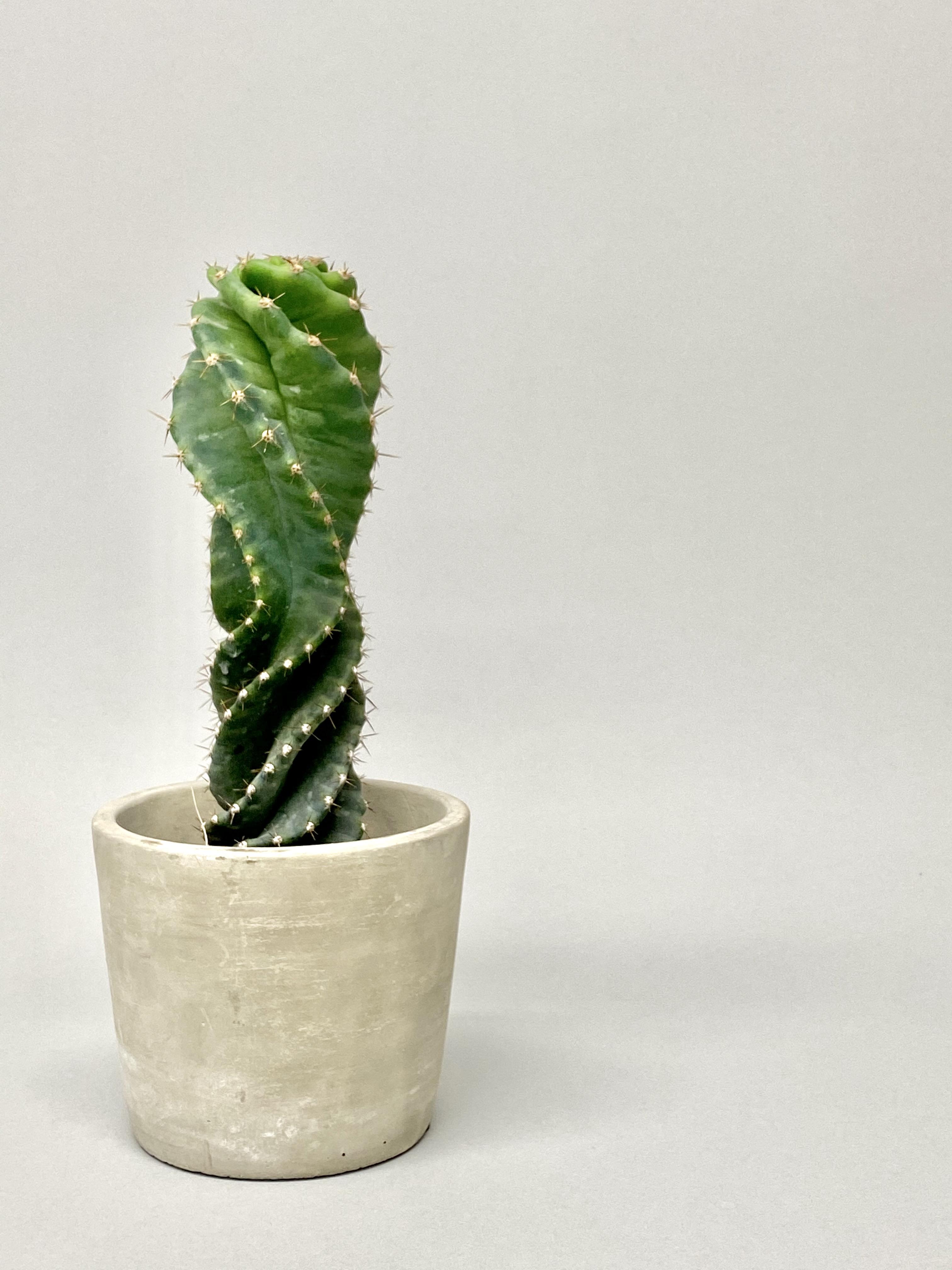 Cereus forbesii spiralis 'Spiral Cactus'