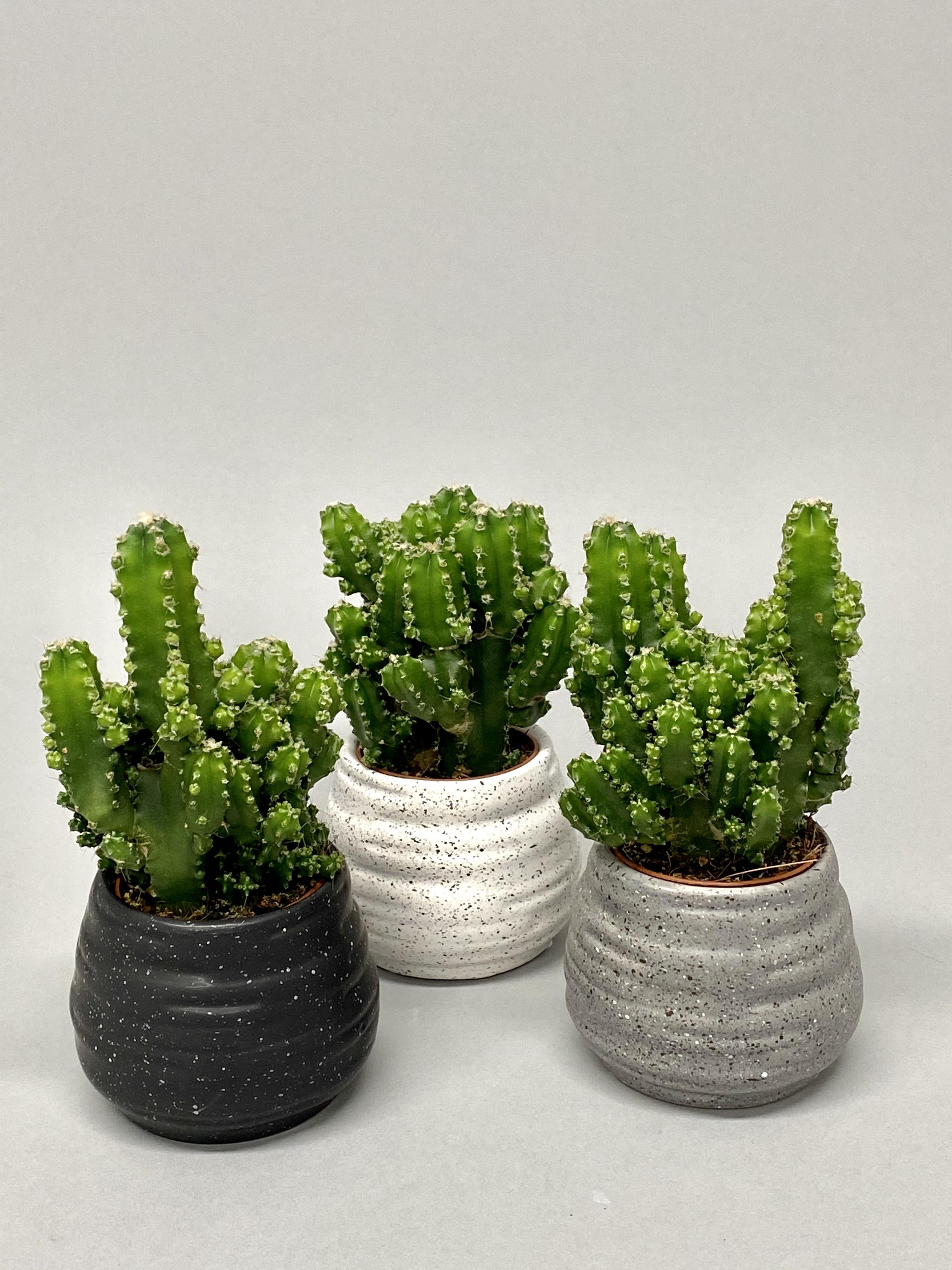 8cm Diameter 'Fairy Castle' Cactus