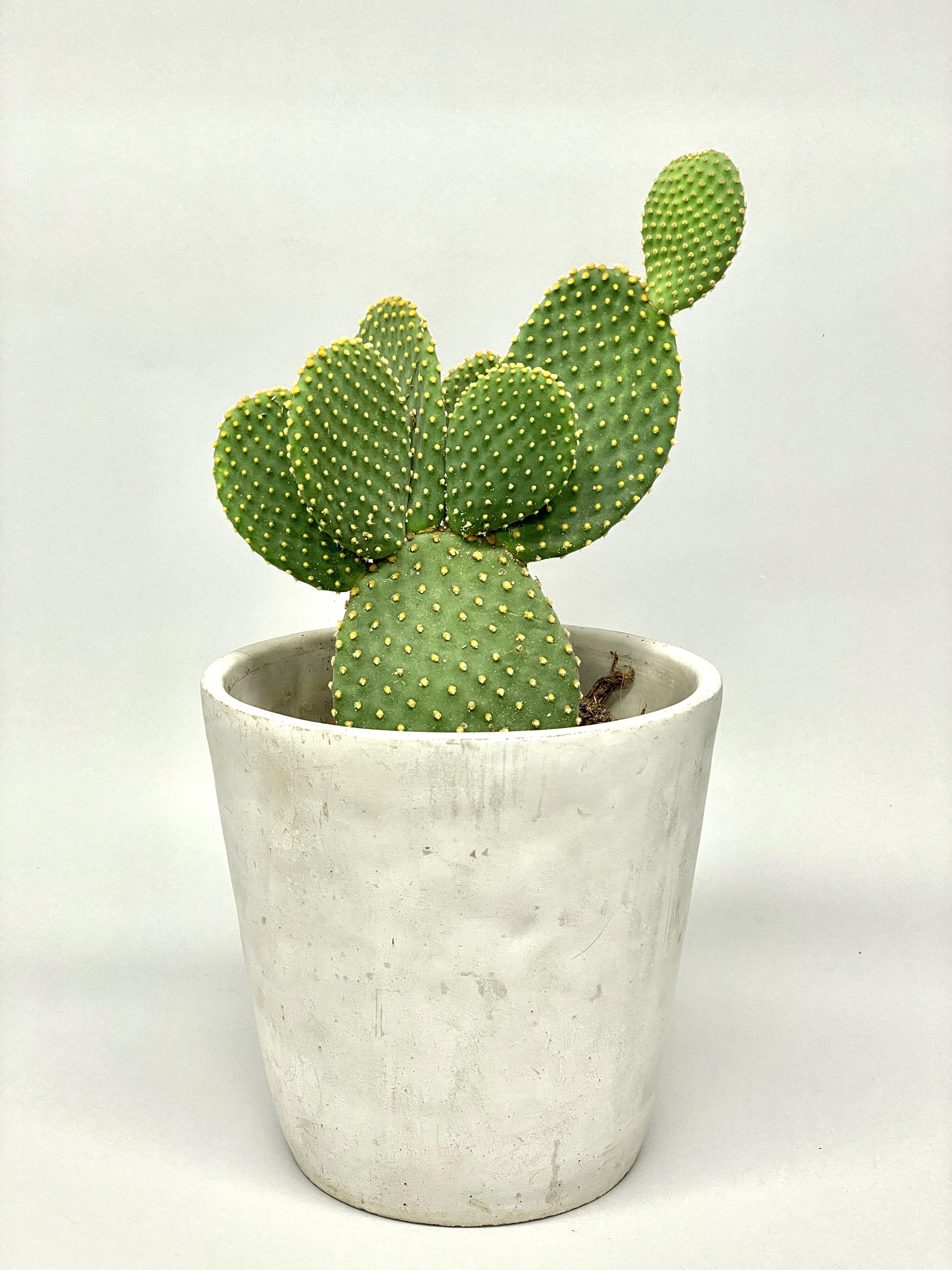 Cacti Mix XL