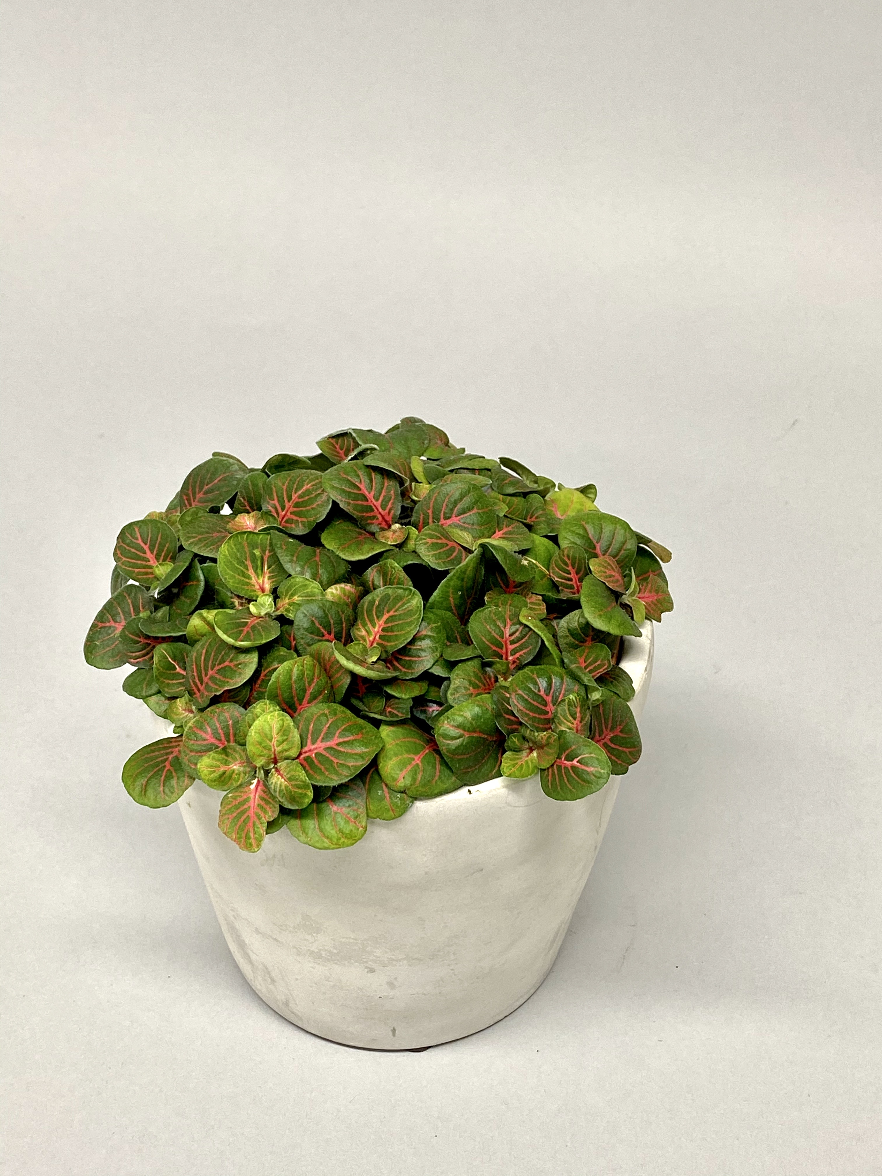 Fittonia Bubble Red (Large)