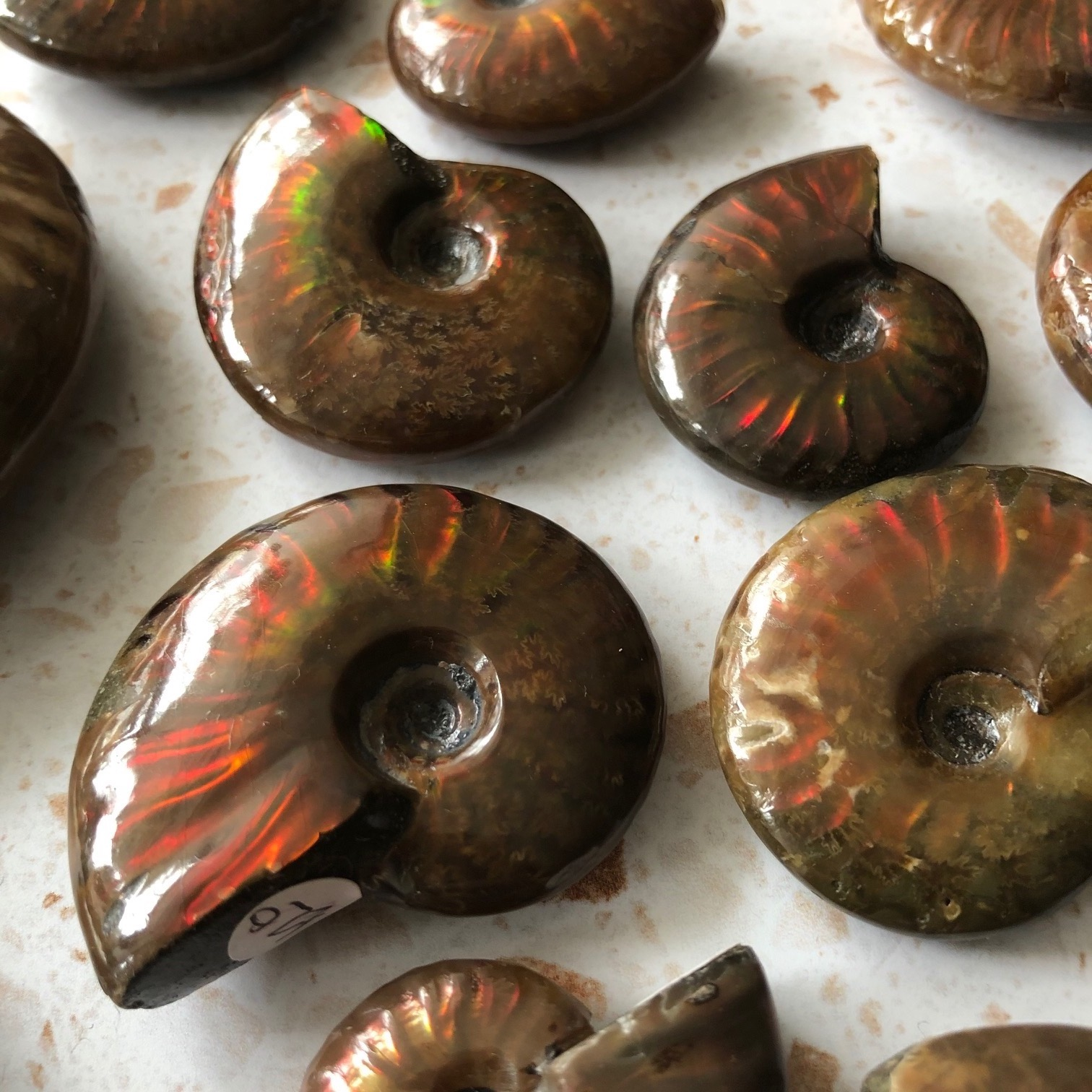 Fire Ammonites