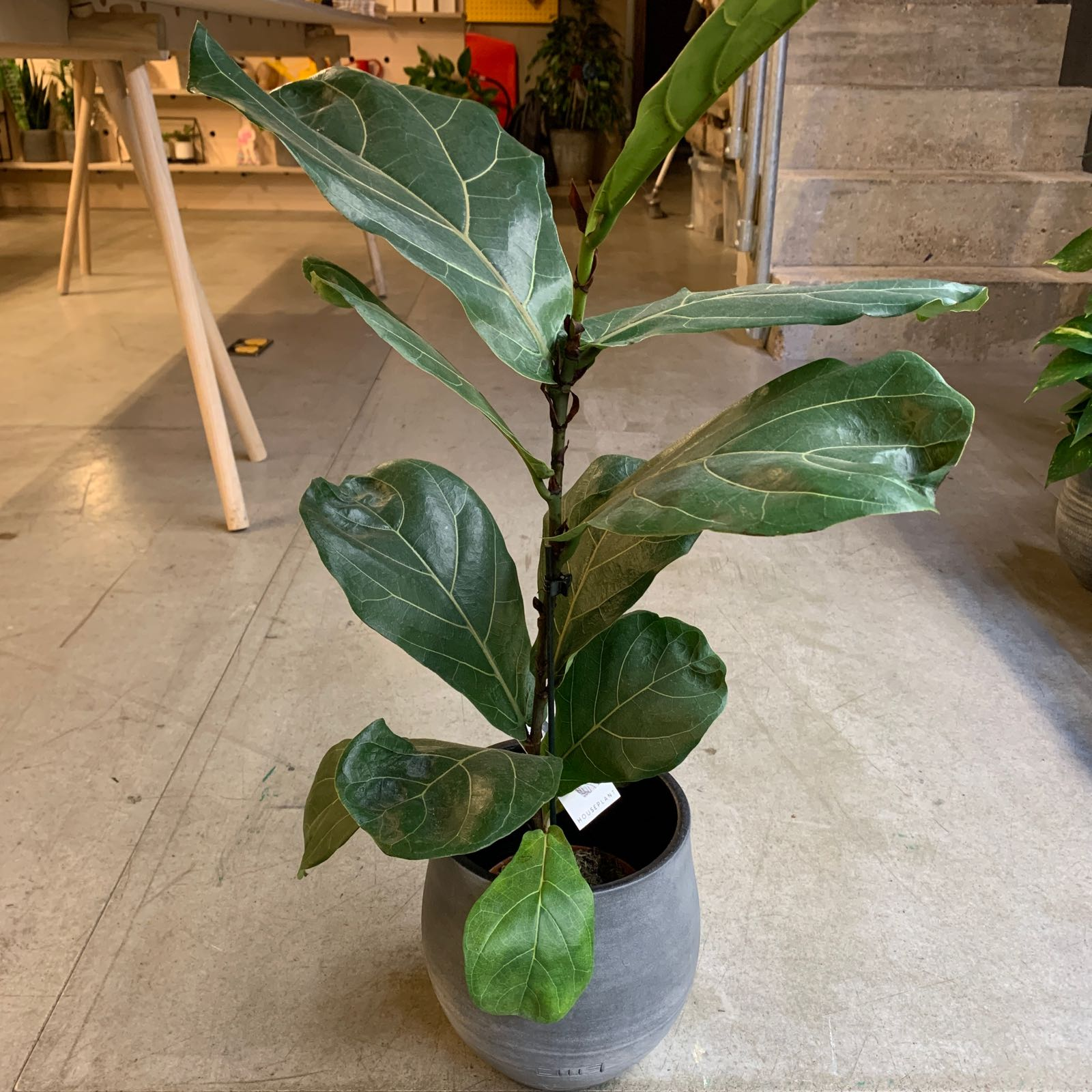 The Little Botanical - Medium Fiddle Leaf Fig