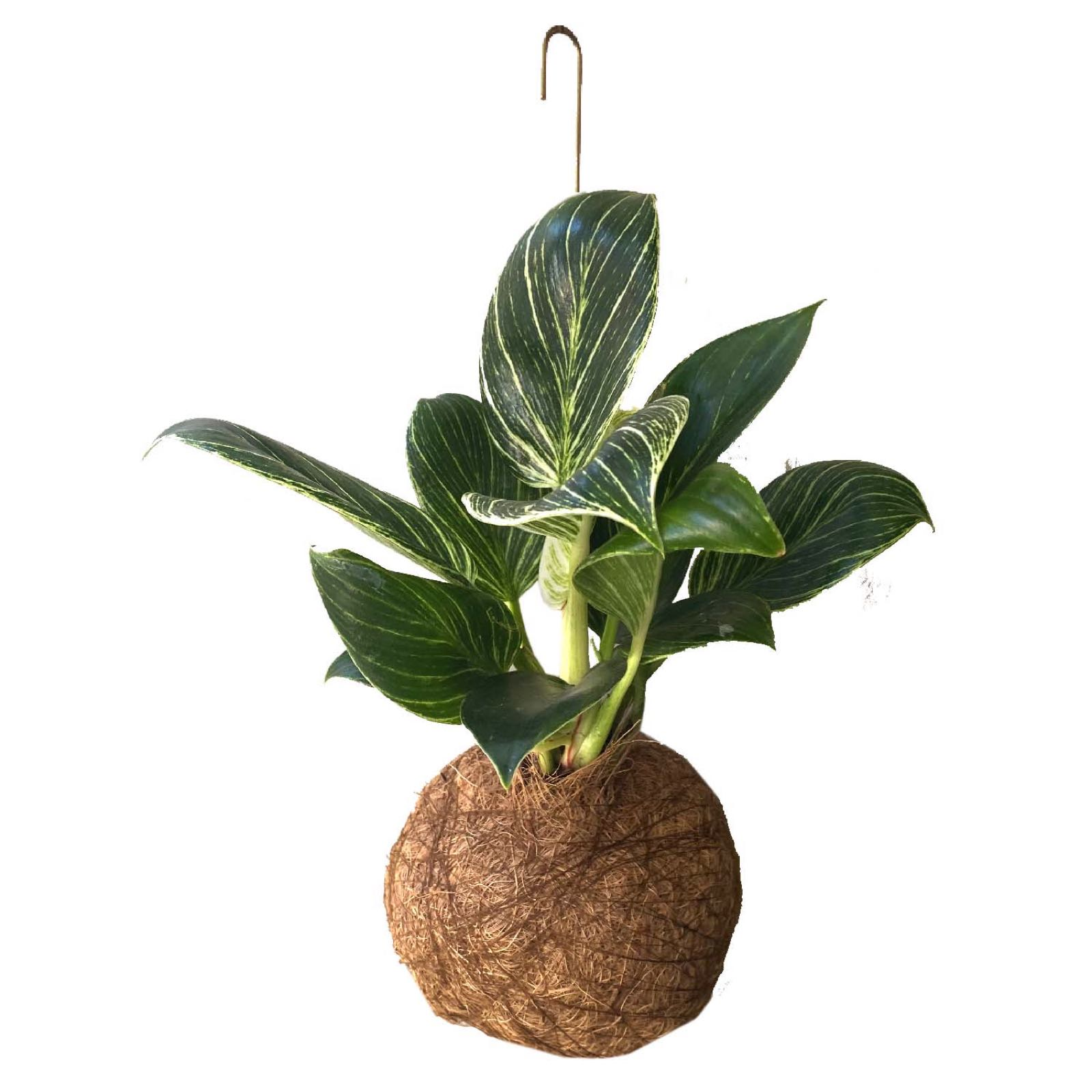 Planteplanet L Philodendron