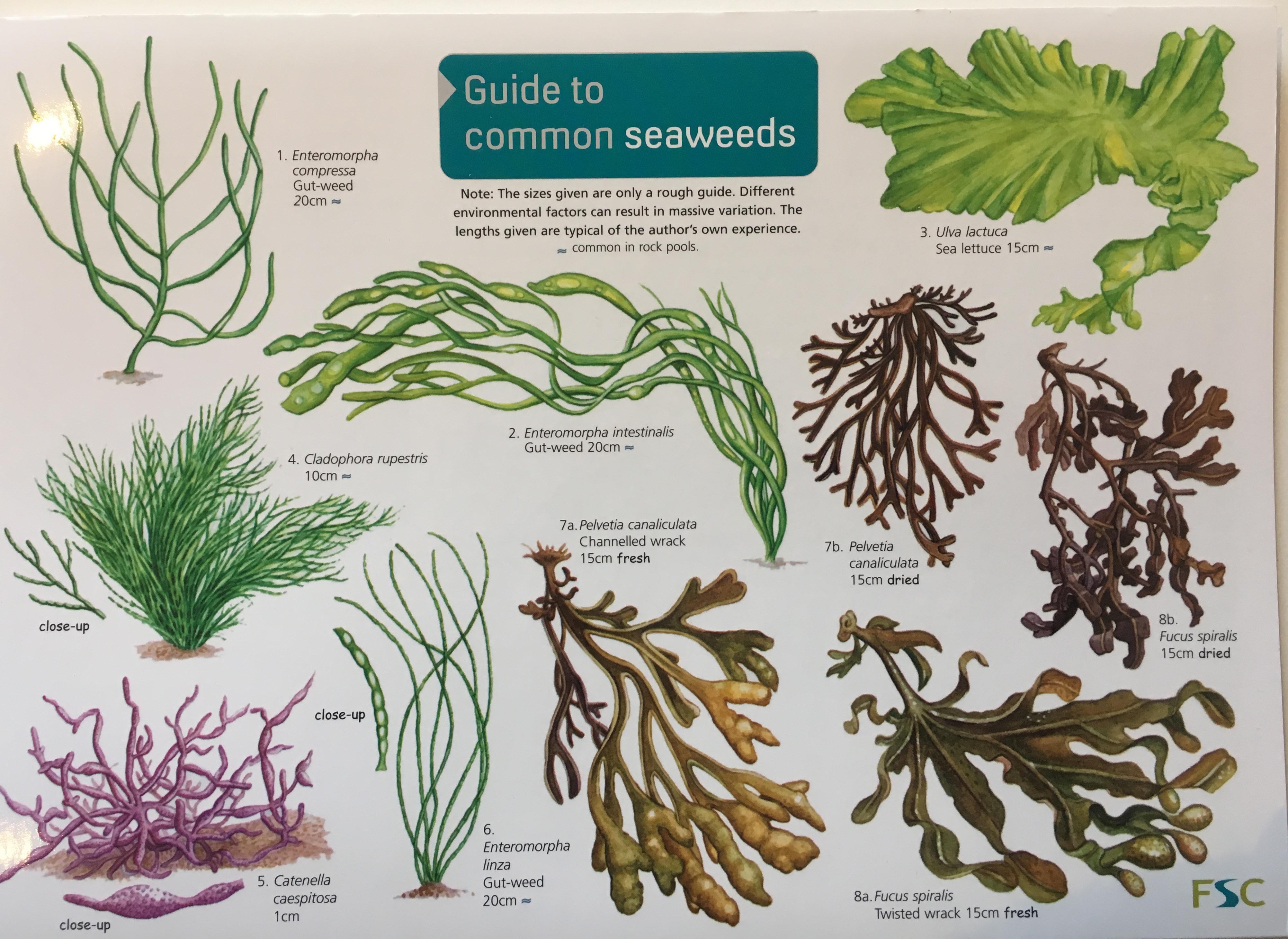 Id Guide - Seaweeds
