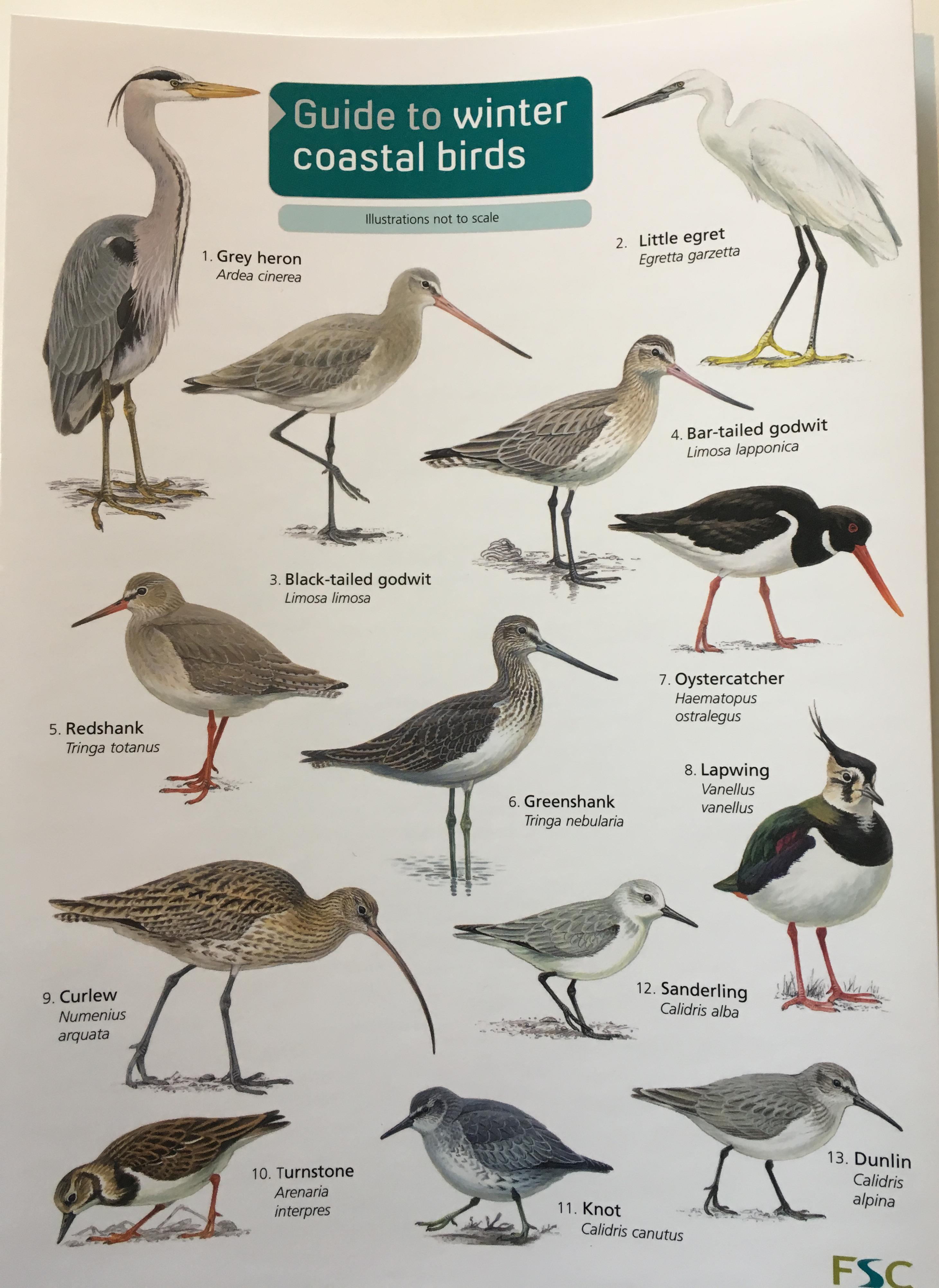 ID Guide - Winter Coastal Birds