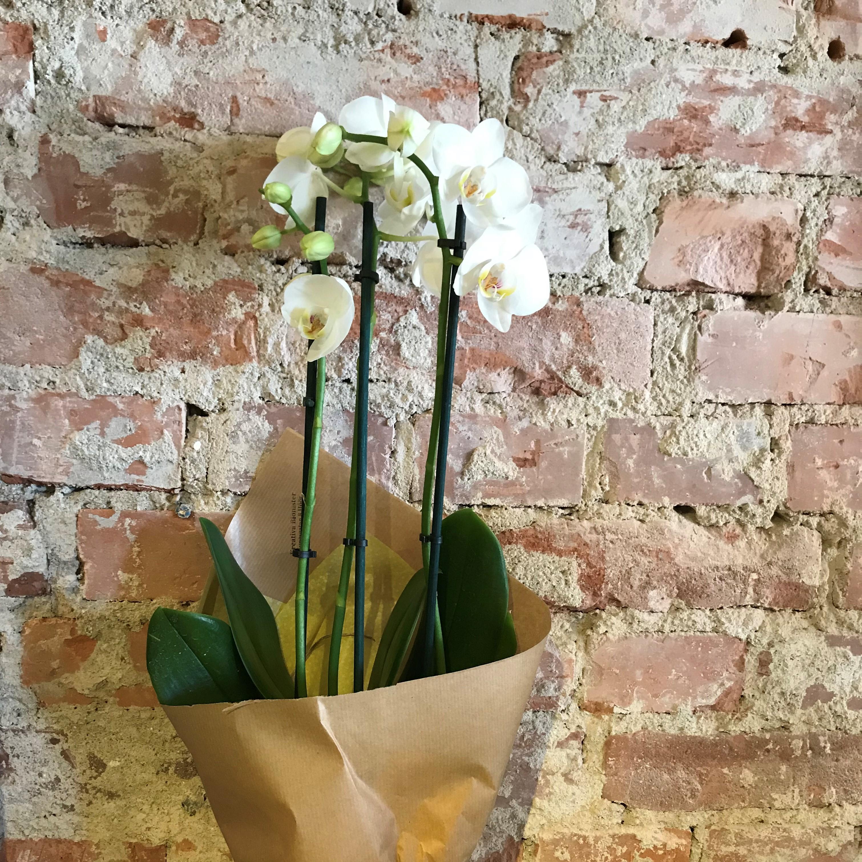 Vit Orkidé 3 stänglar