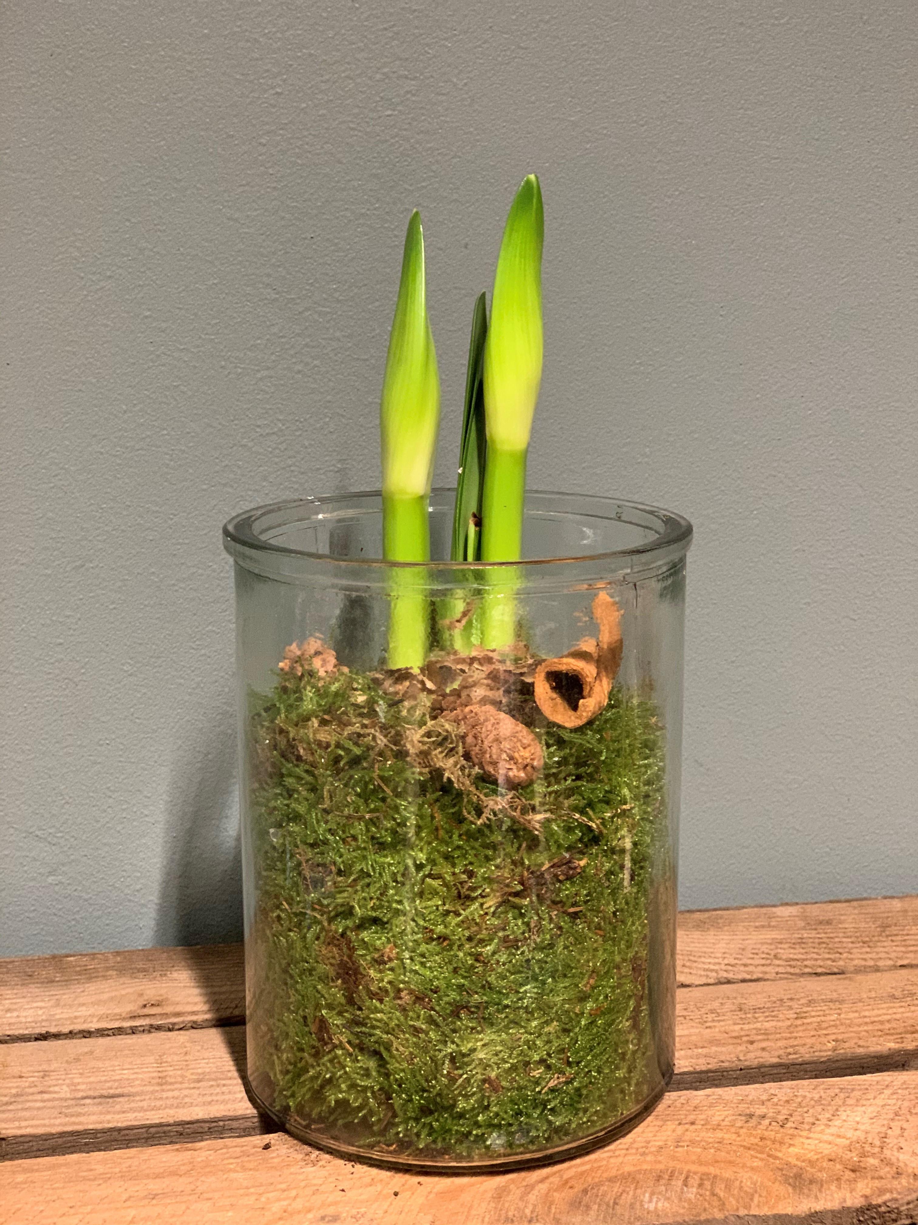 Amaryllis i cylinder glas