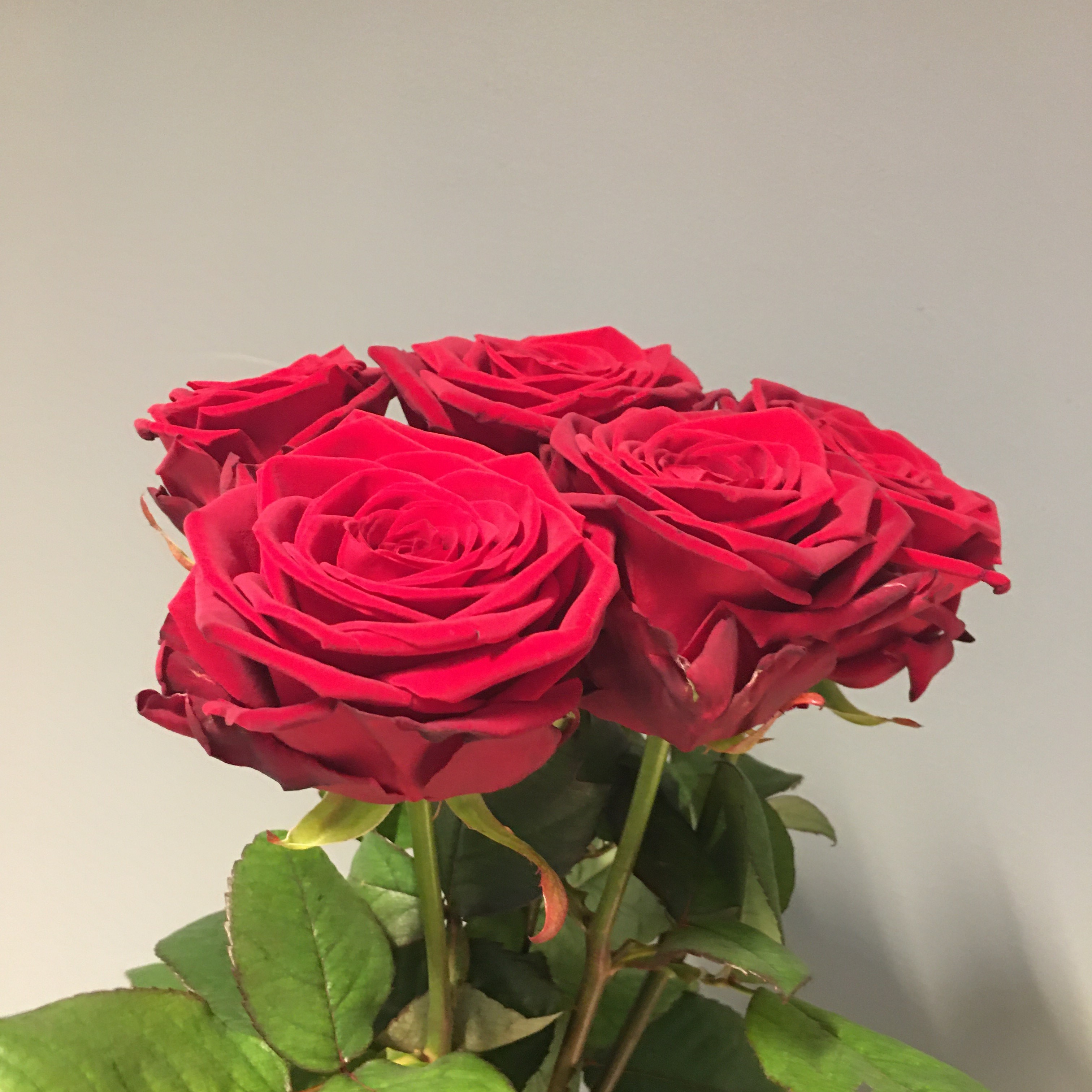 Stor röd ros