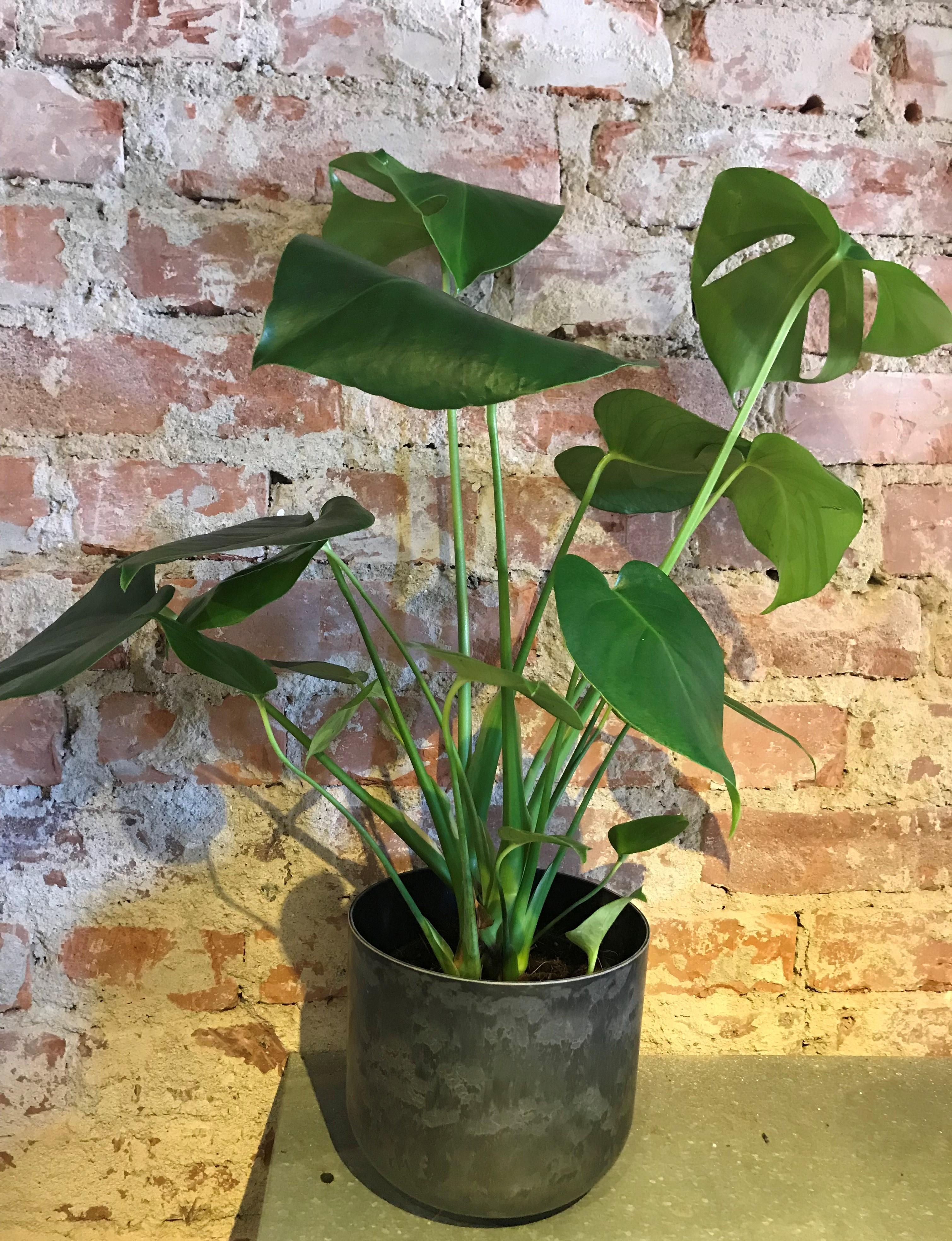 Floristens val - Grön växt med kruka
