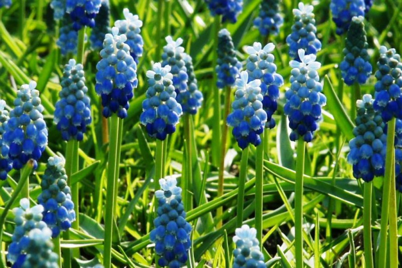 Muscari mix 'Blue and White', luomu