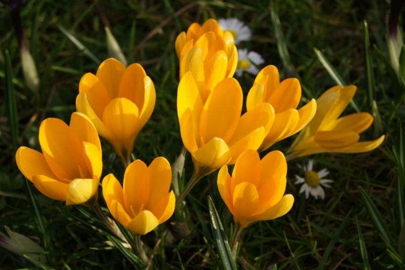 Crocus 'Yellow One', luomu