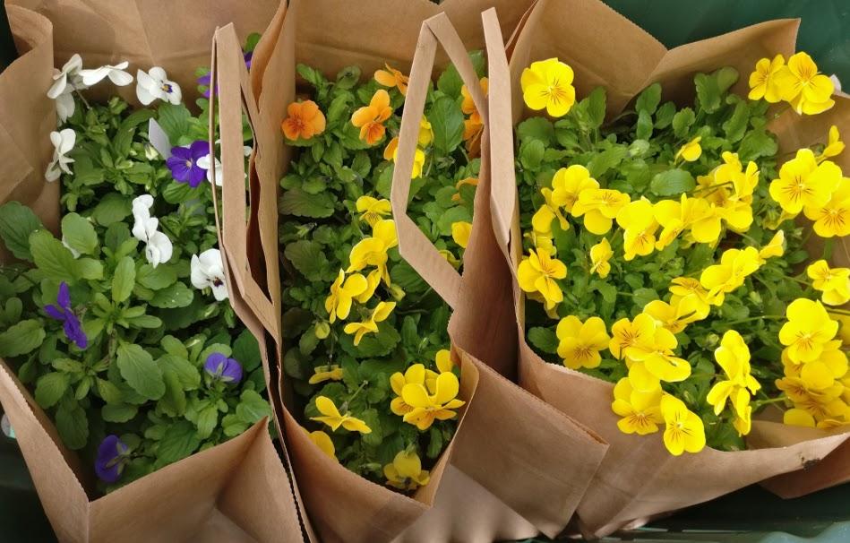 Orvokkikassi, syötäviä kukkia ruukussa, luomu