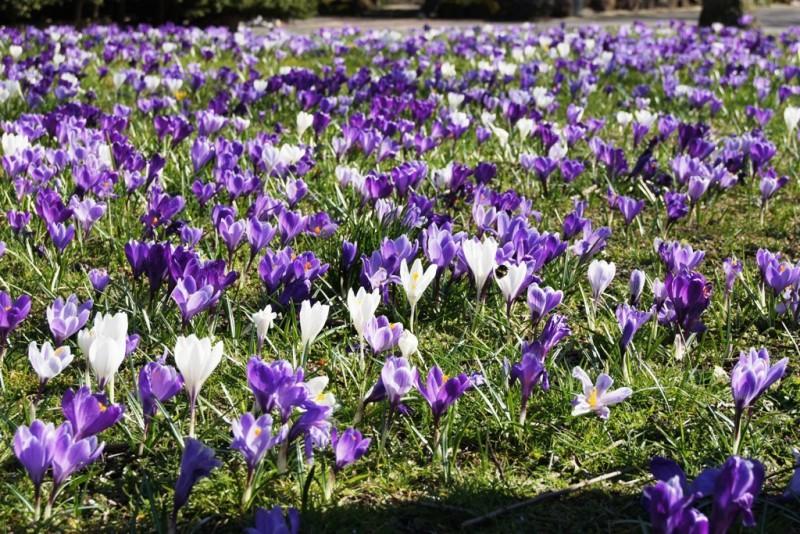 Crocus mix 'Purple-White', luomu