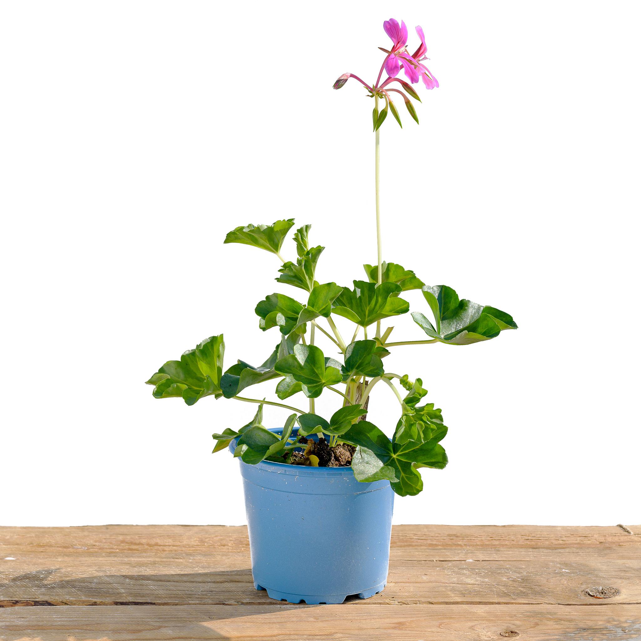 Riippa/ tuoksu-pelargonia, luomu