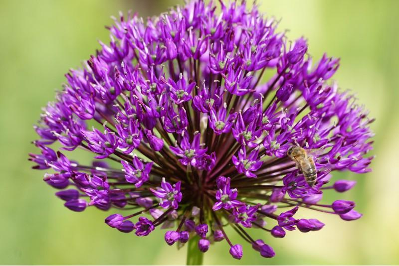 Allium 'Purple Sensation', luomu