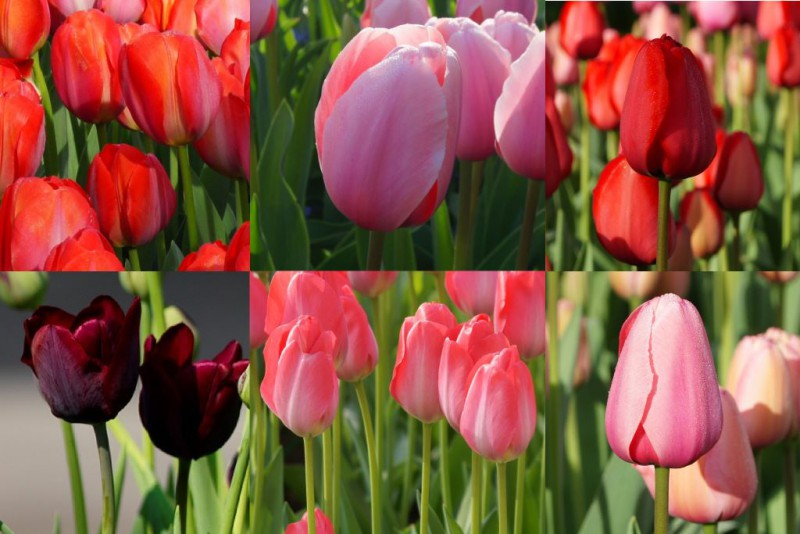 Collection tall tulips, luomu