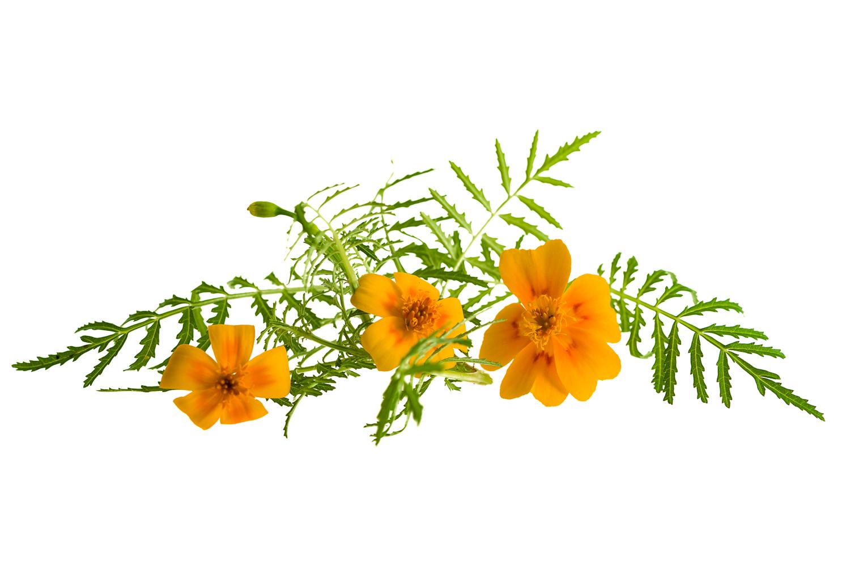 Syötävä kukka, minisamettikukka 20kpl