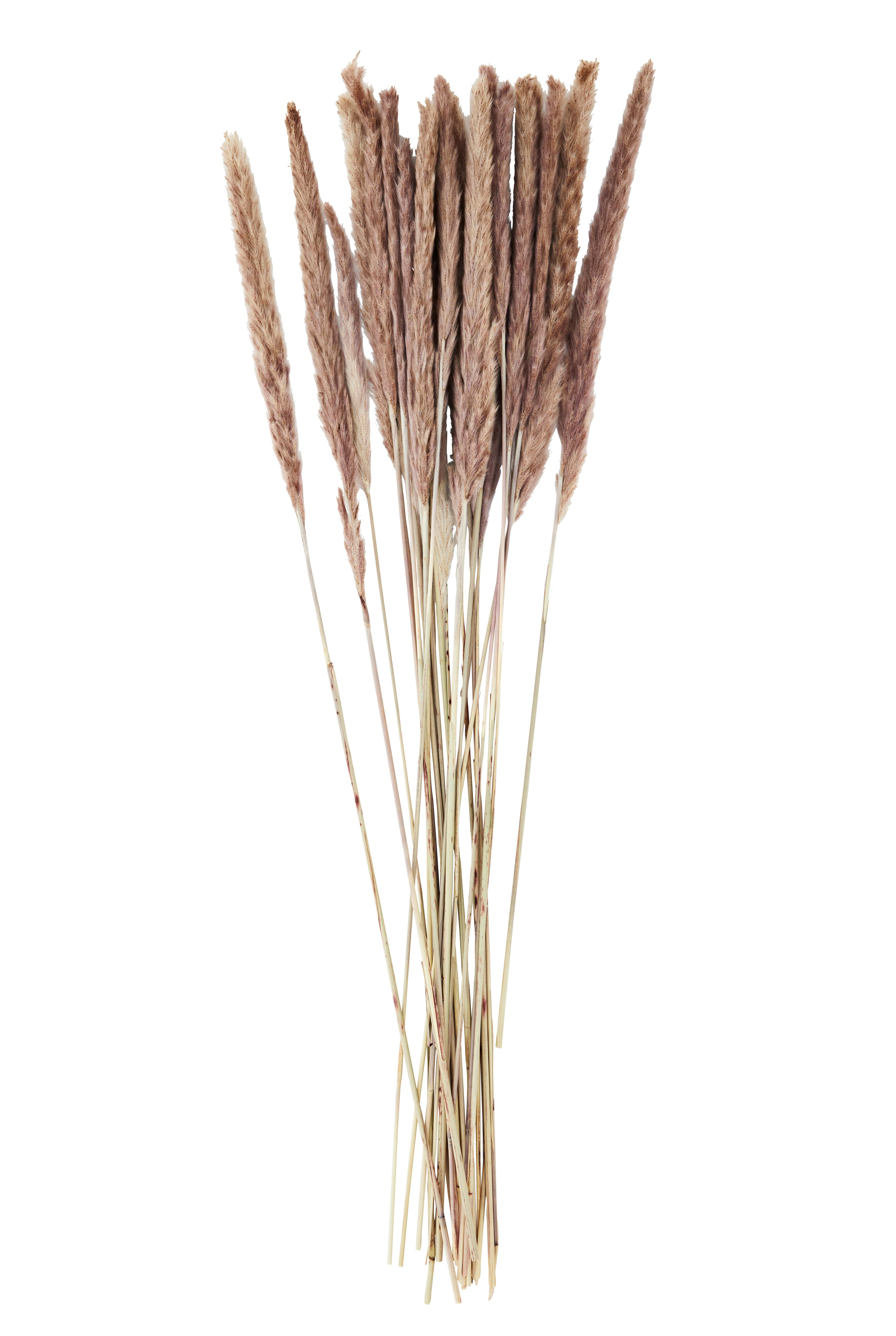 Chinaschilf / miscanthus floridulus