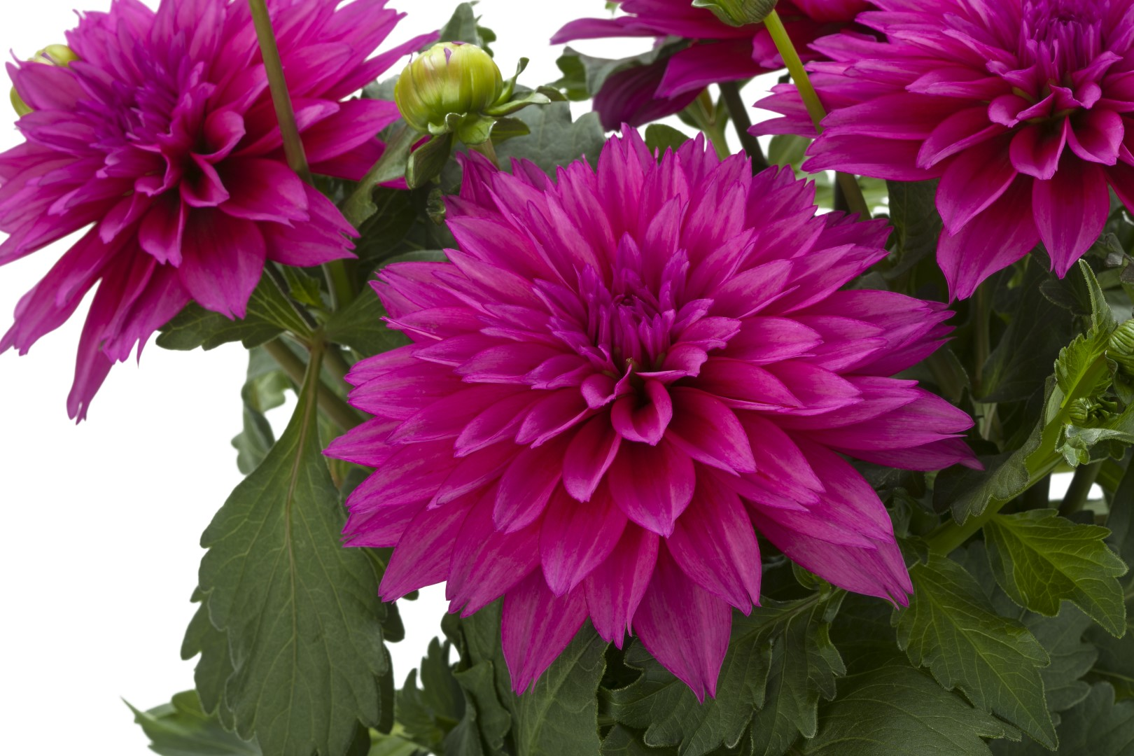 Dahlia - Giant Flowered