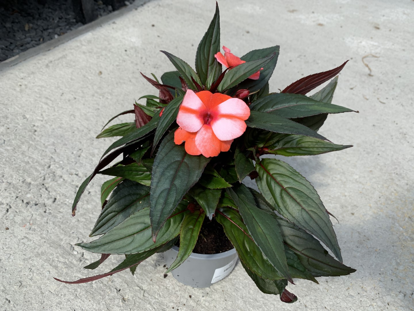 Impatiens New Guinea Sel - 1ltr Pot