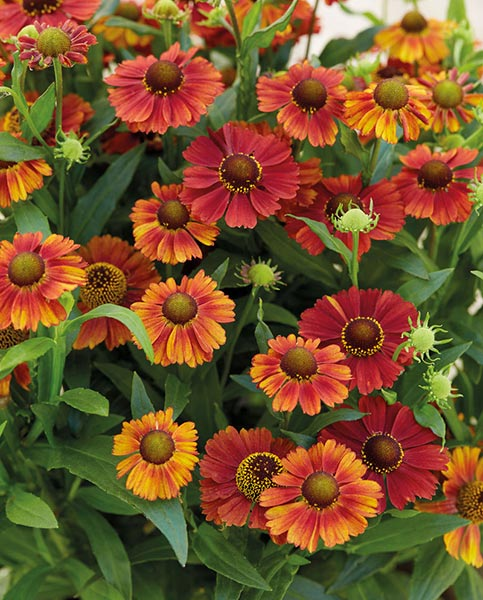 Helenium - Strawberry Sundae - 2ltr Pot