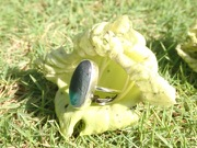 RE214 Eco-silver Sea Glass Ring Seaham Multi Turquoise/Green UK K