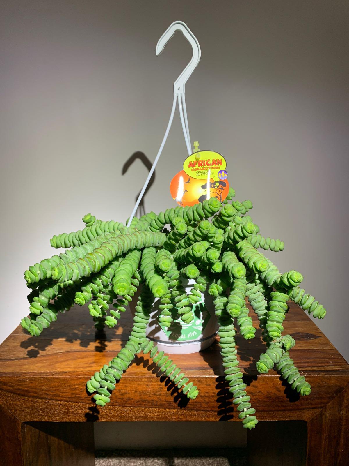 Jade Necklace - Crassula marnieriana 'Hottentot'