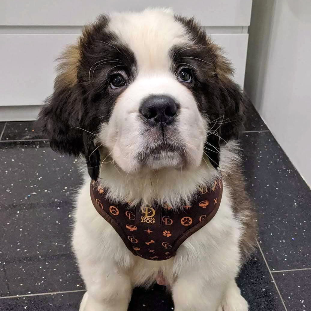 Chewy Louis Harness